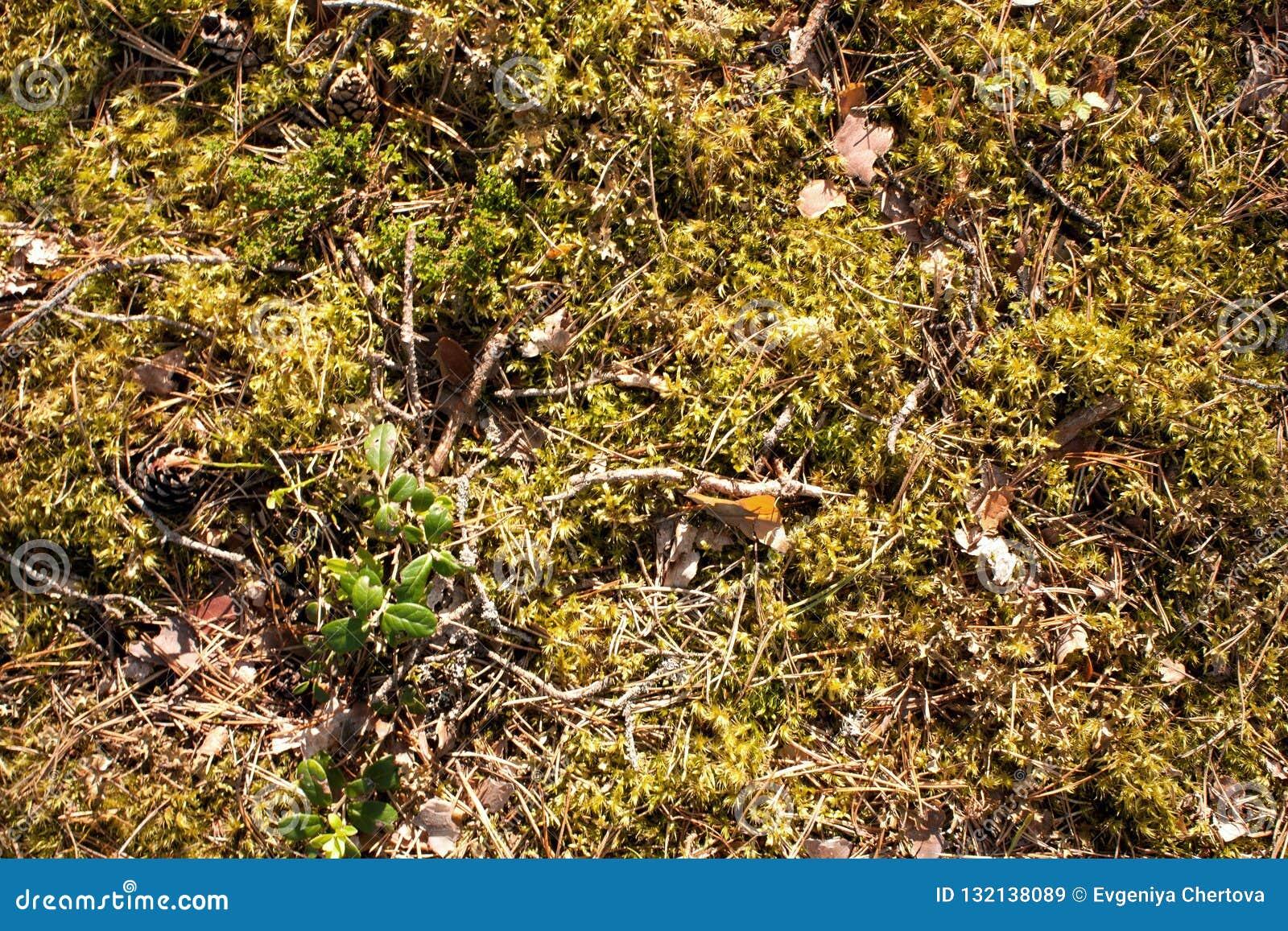 Textura del musgo del bosque, vegetación salvaje del bosque verde con los pedazos de ramas, conos de abeto, corteza de árbol y ag