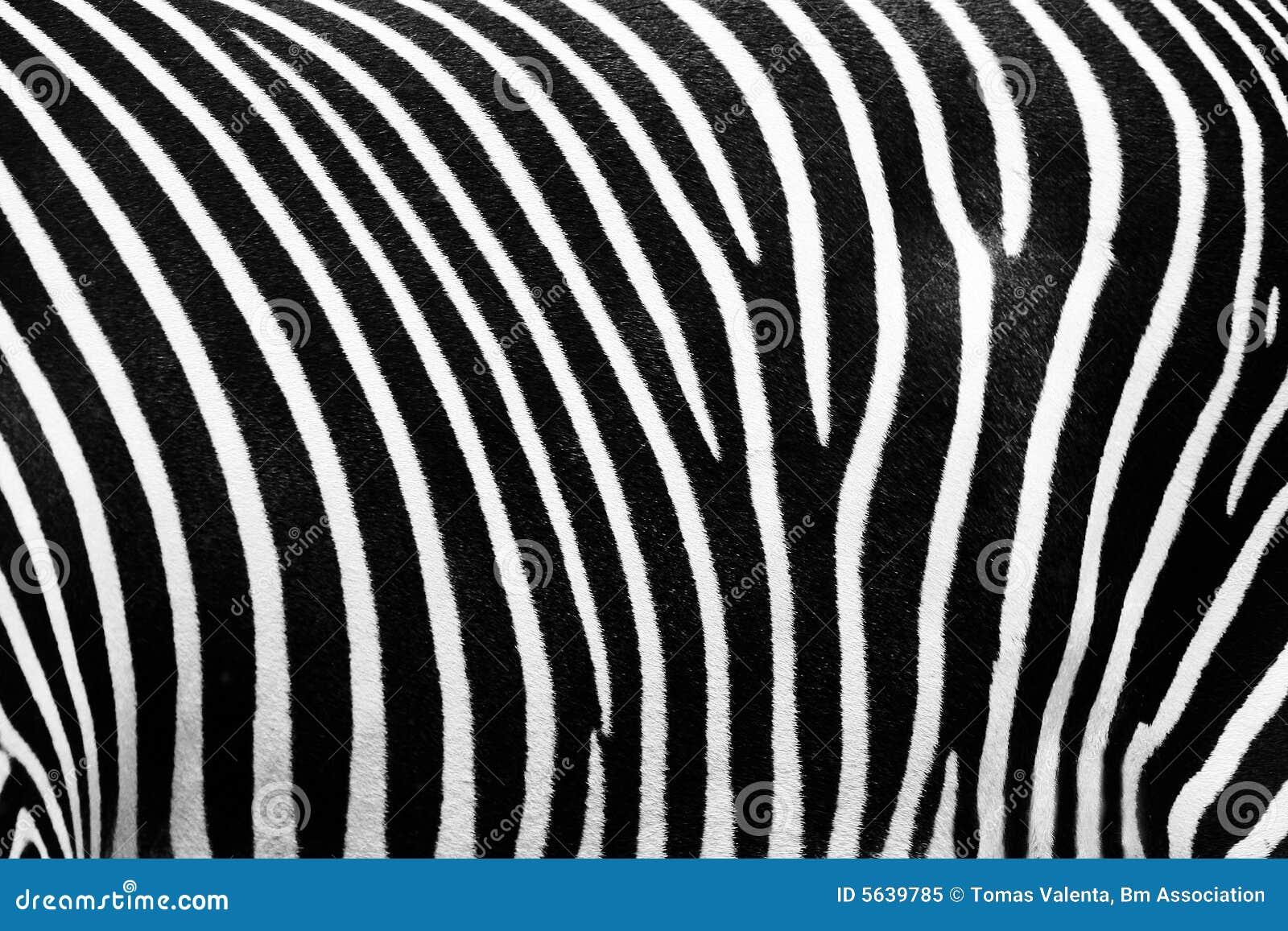 Textura do BW da zebra