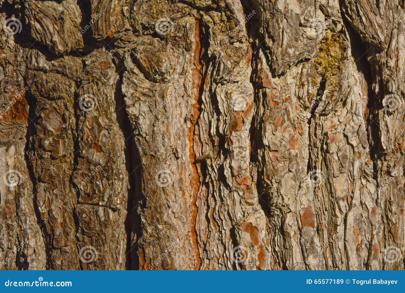 Textura do close up da casca de árvore