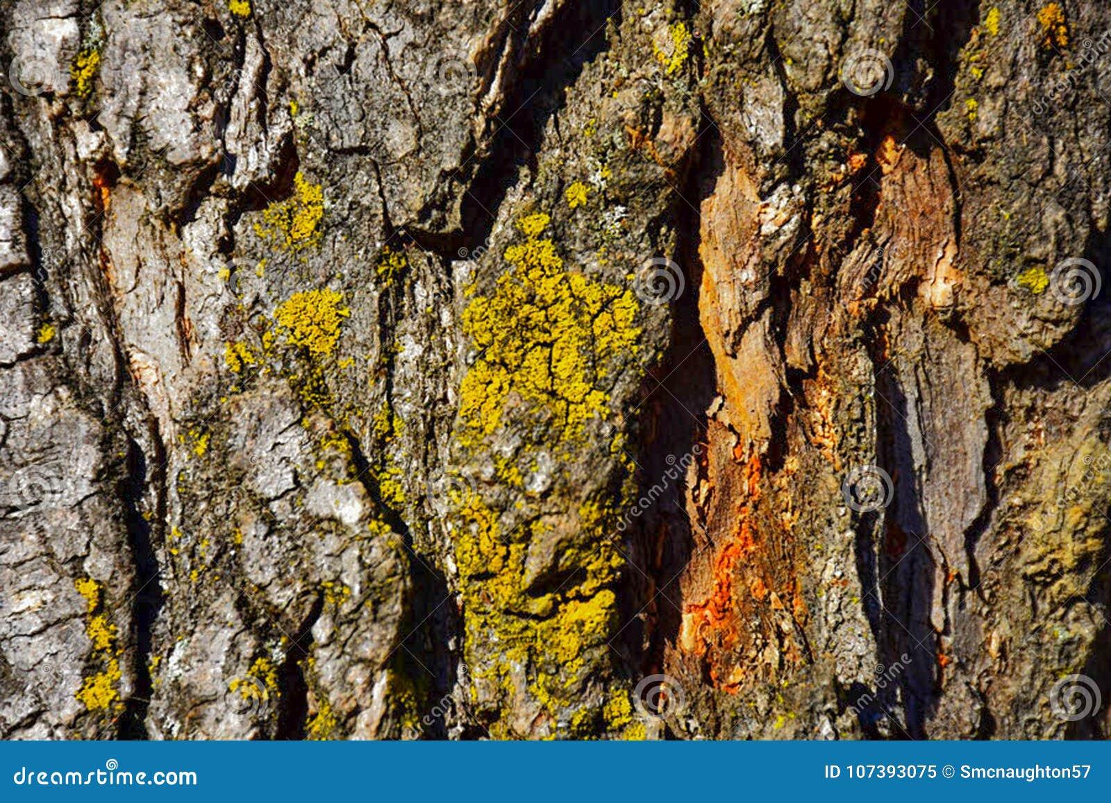 Textura do close-up da casca de pinheiro com o líquene do cambium alaranjado e do verde amarelo