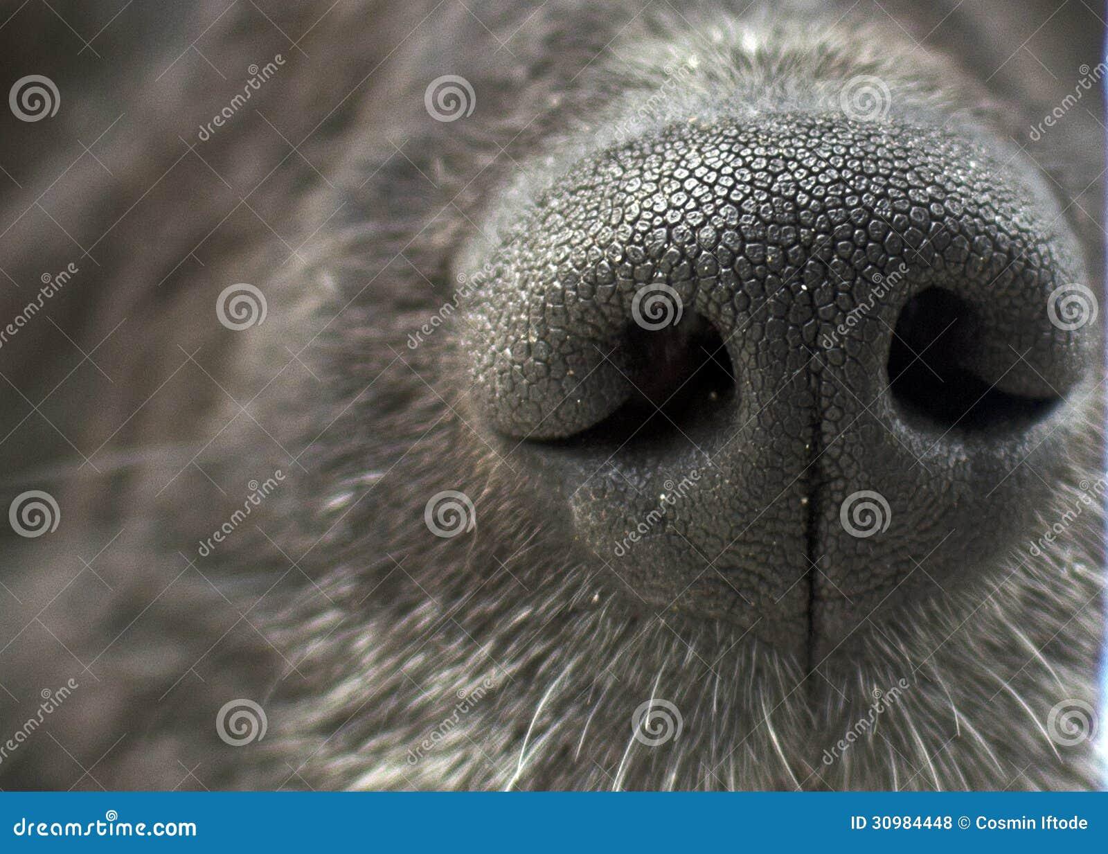 Textura do nariz de cão preto