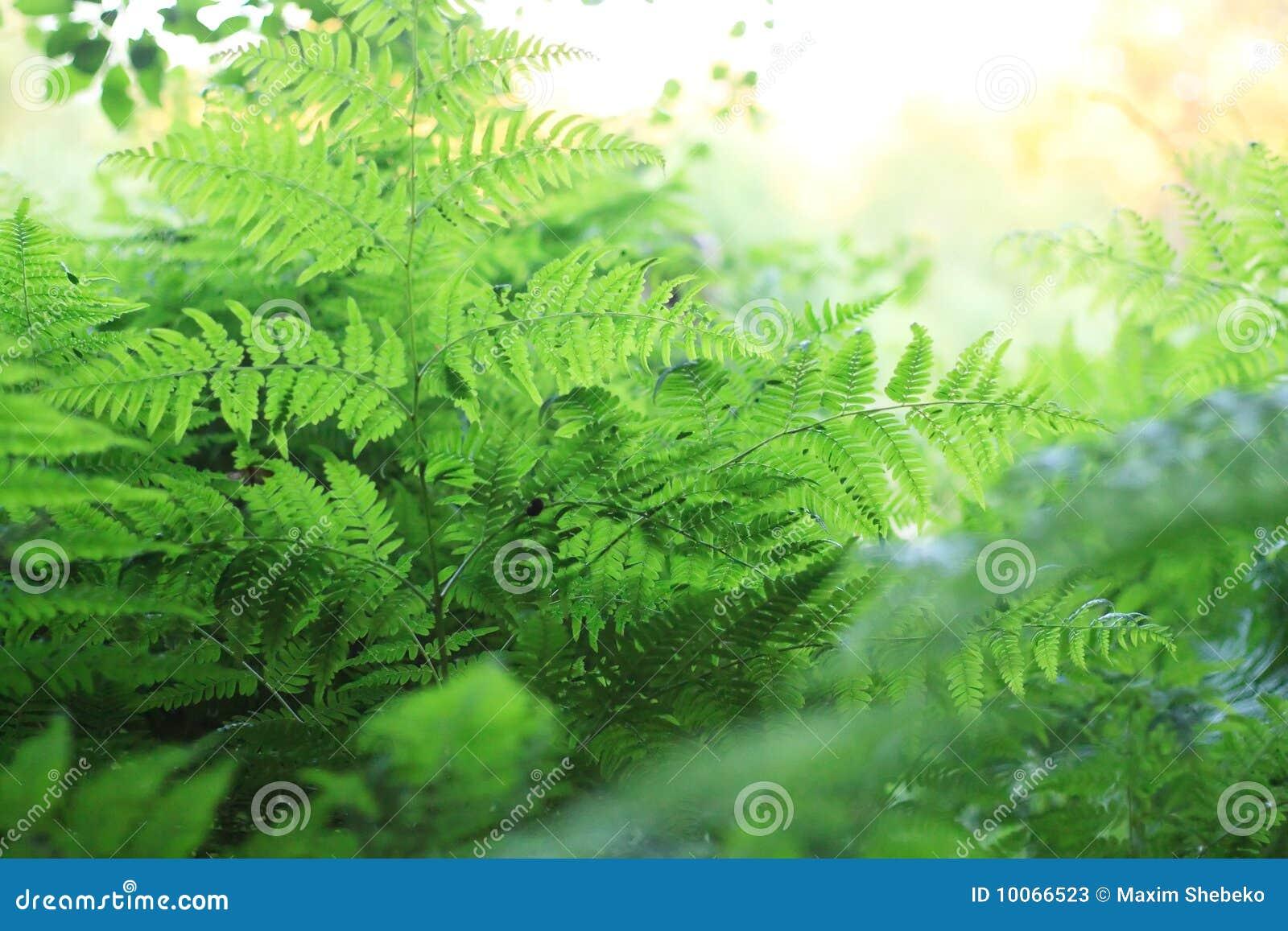 Textura verde do Fern