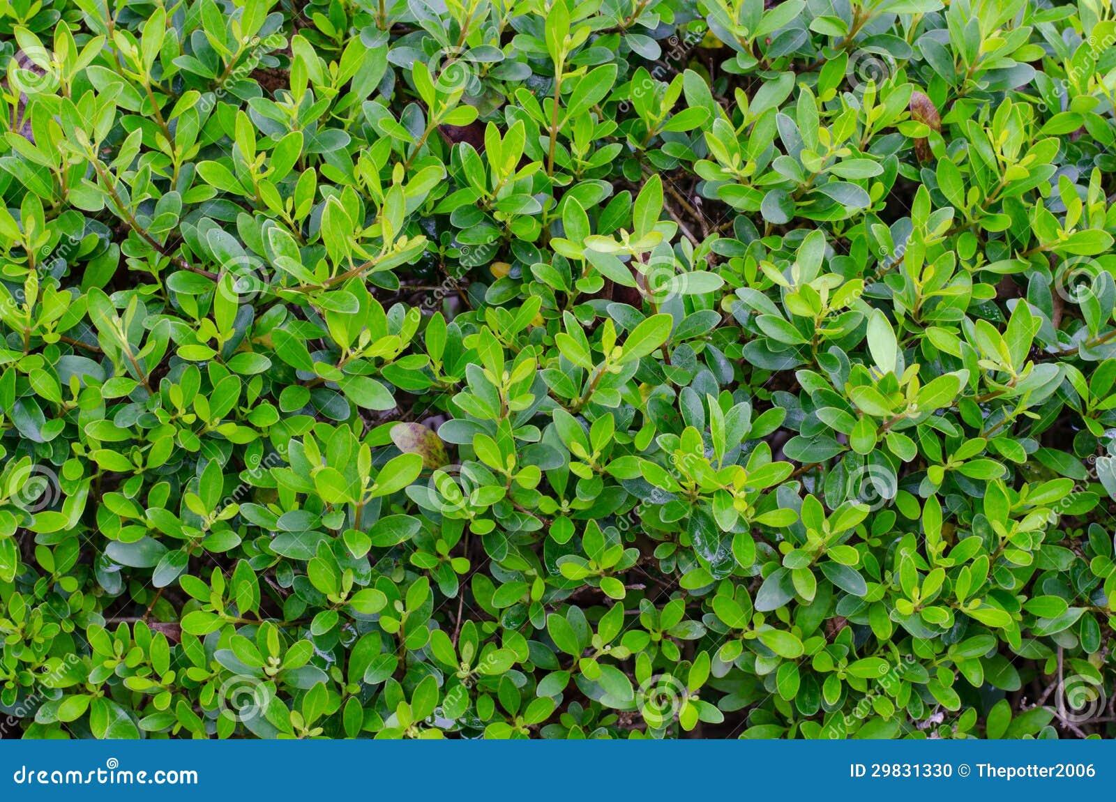 Parede verde da folha