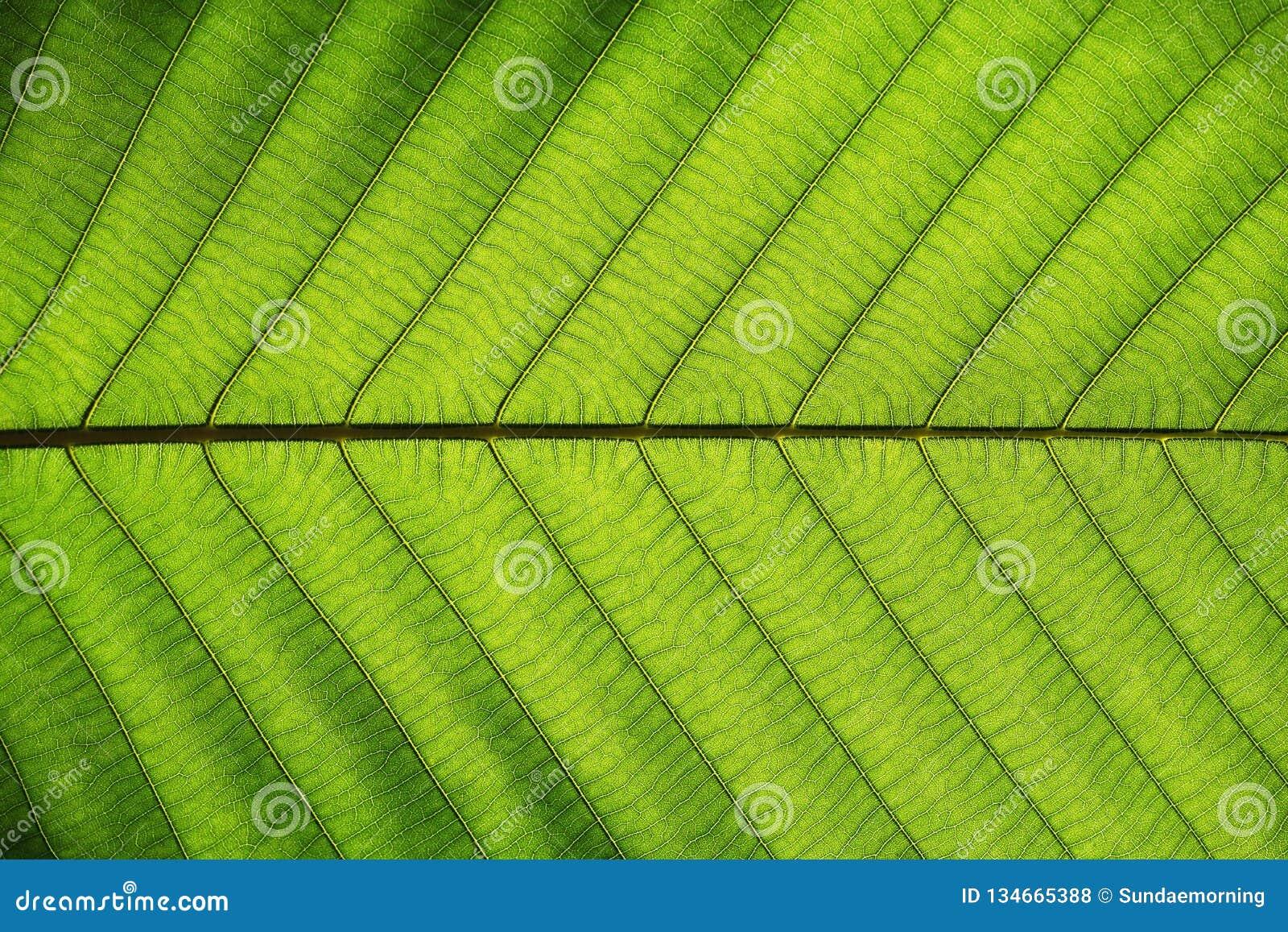 Textura verde rica de la hoja ver a través la estructura de la vena de la simetría, concepto natural de la textura