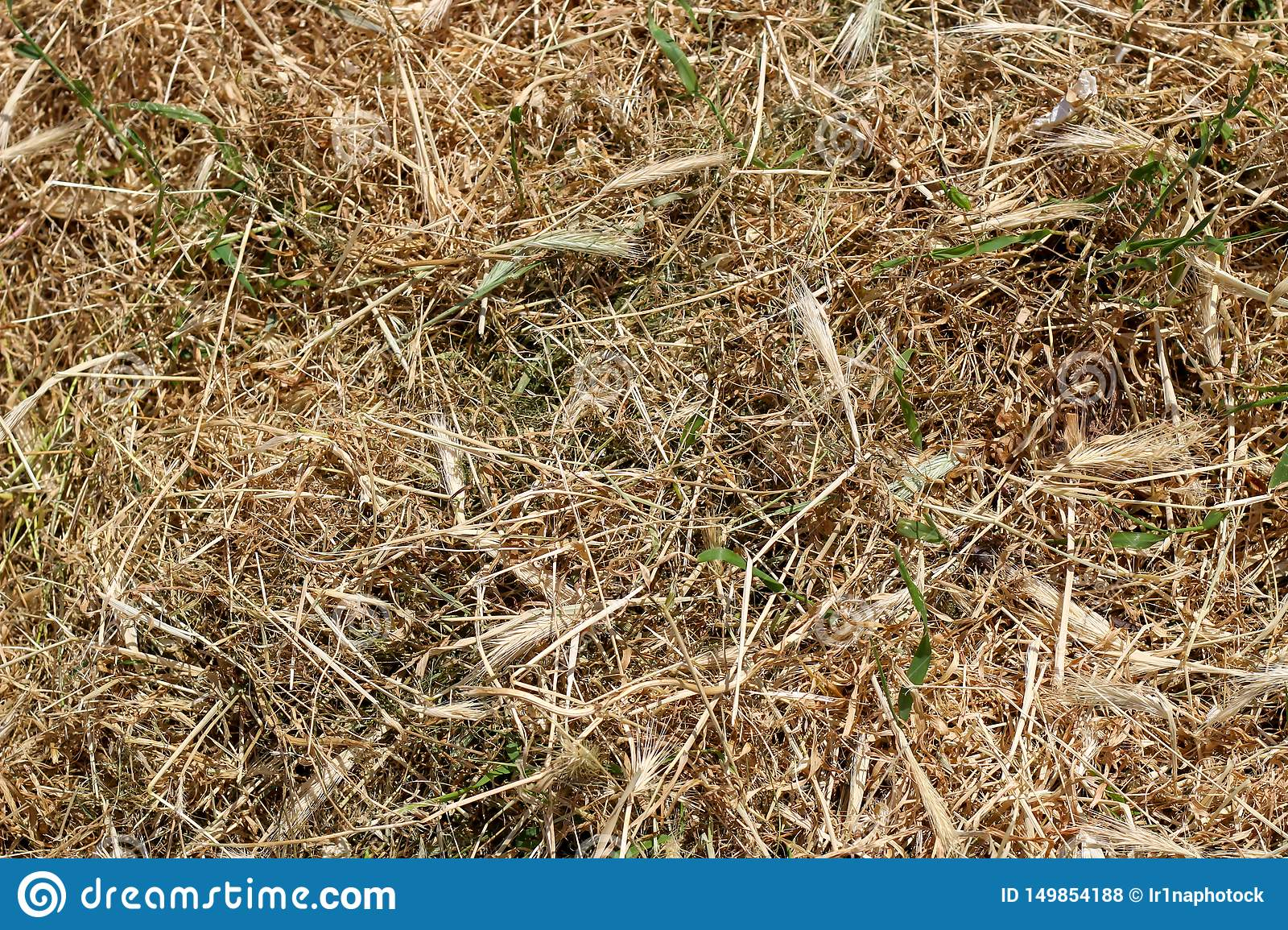 Texture, Background of Dry Mown Grass