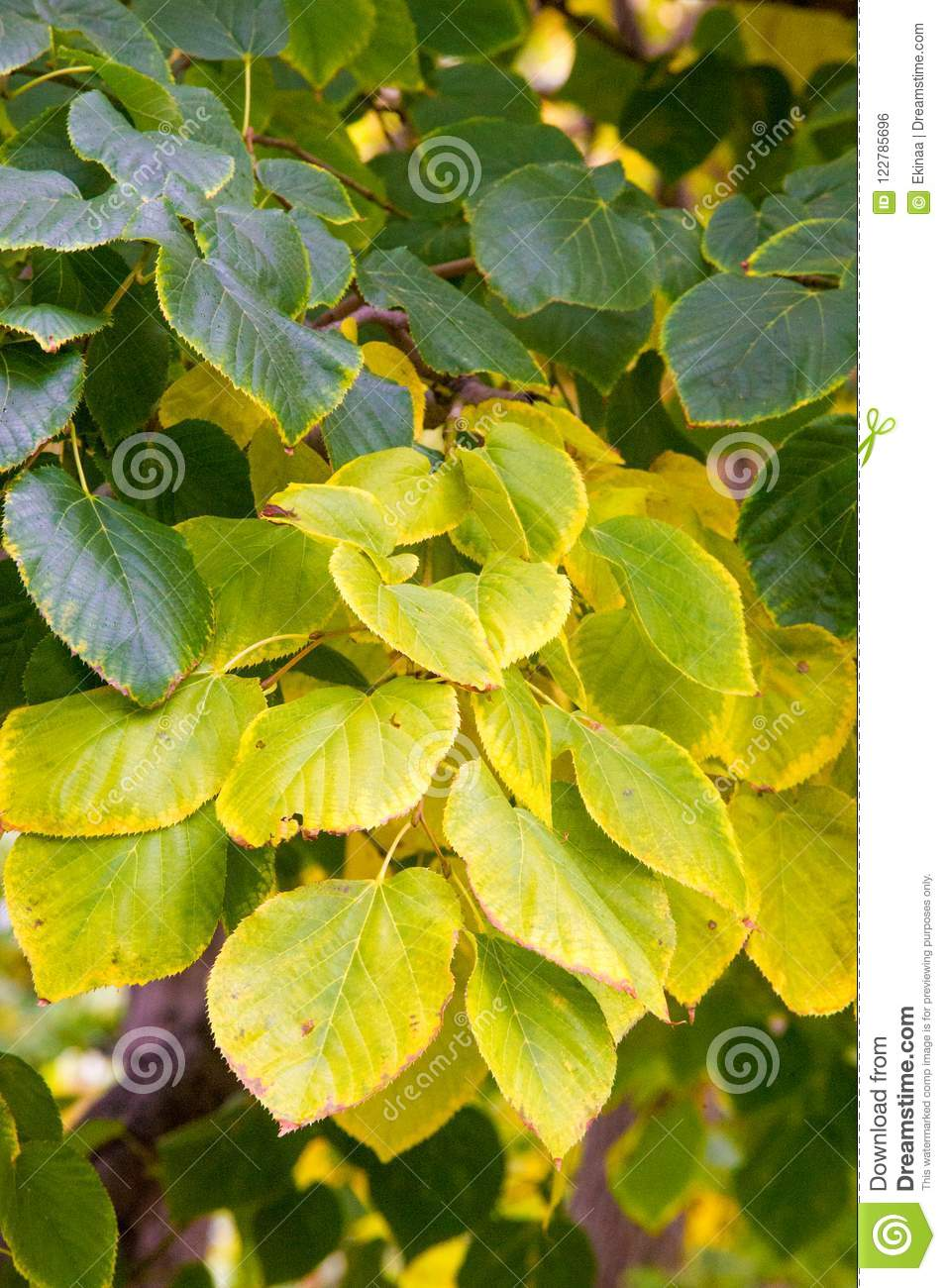 Texture, background, pattern. Autumn leaves of lindens are yellow on a tree. Photographed in counter light. linden, lime, fake, c
