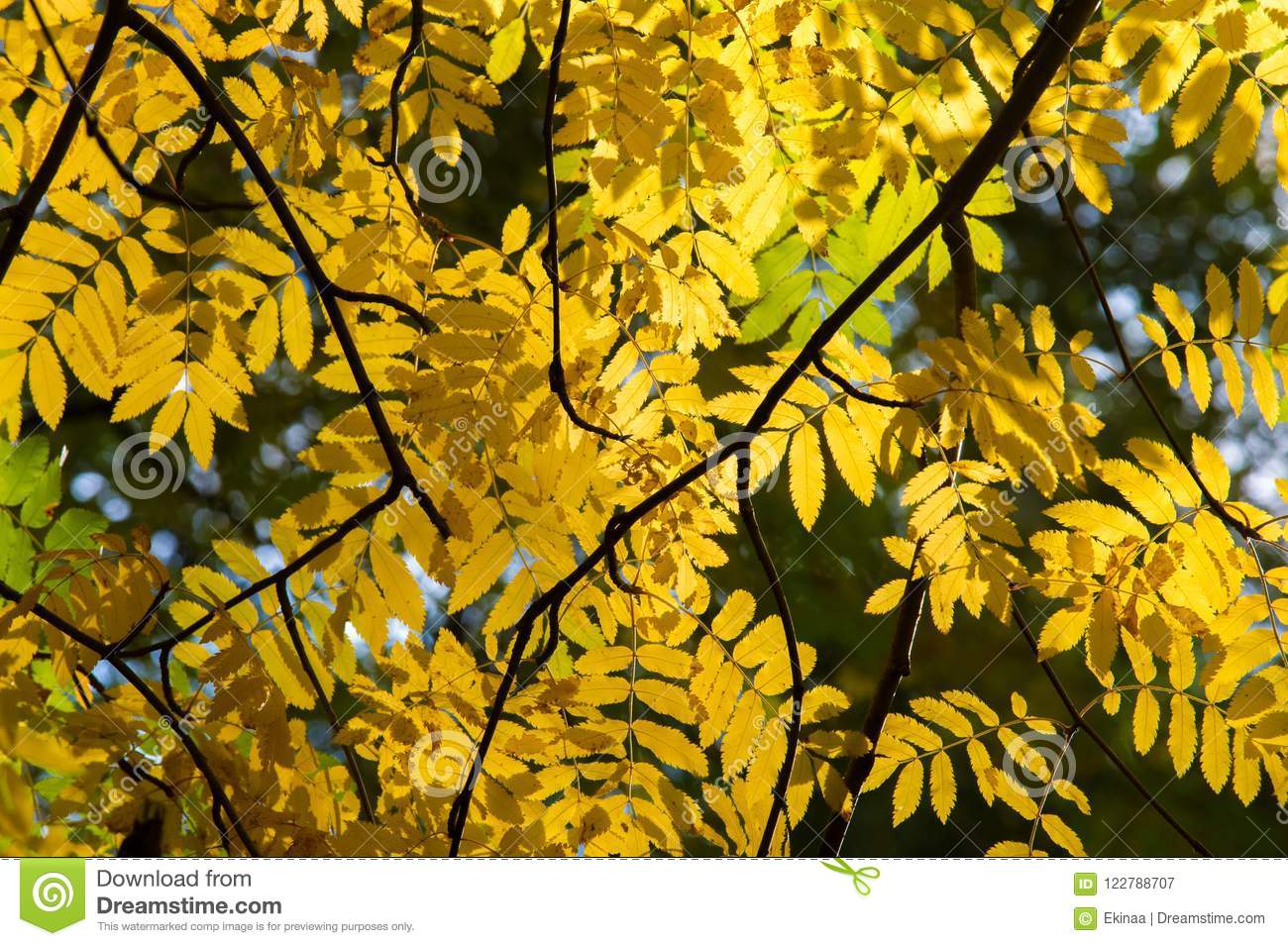 Texture, background, pattern. Red yellow green autumn leaves on