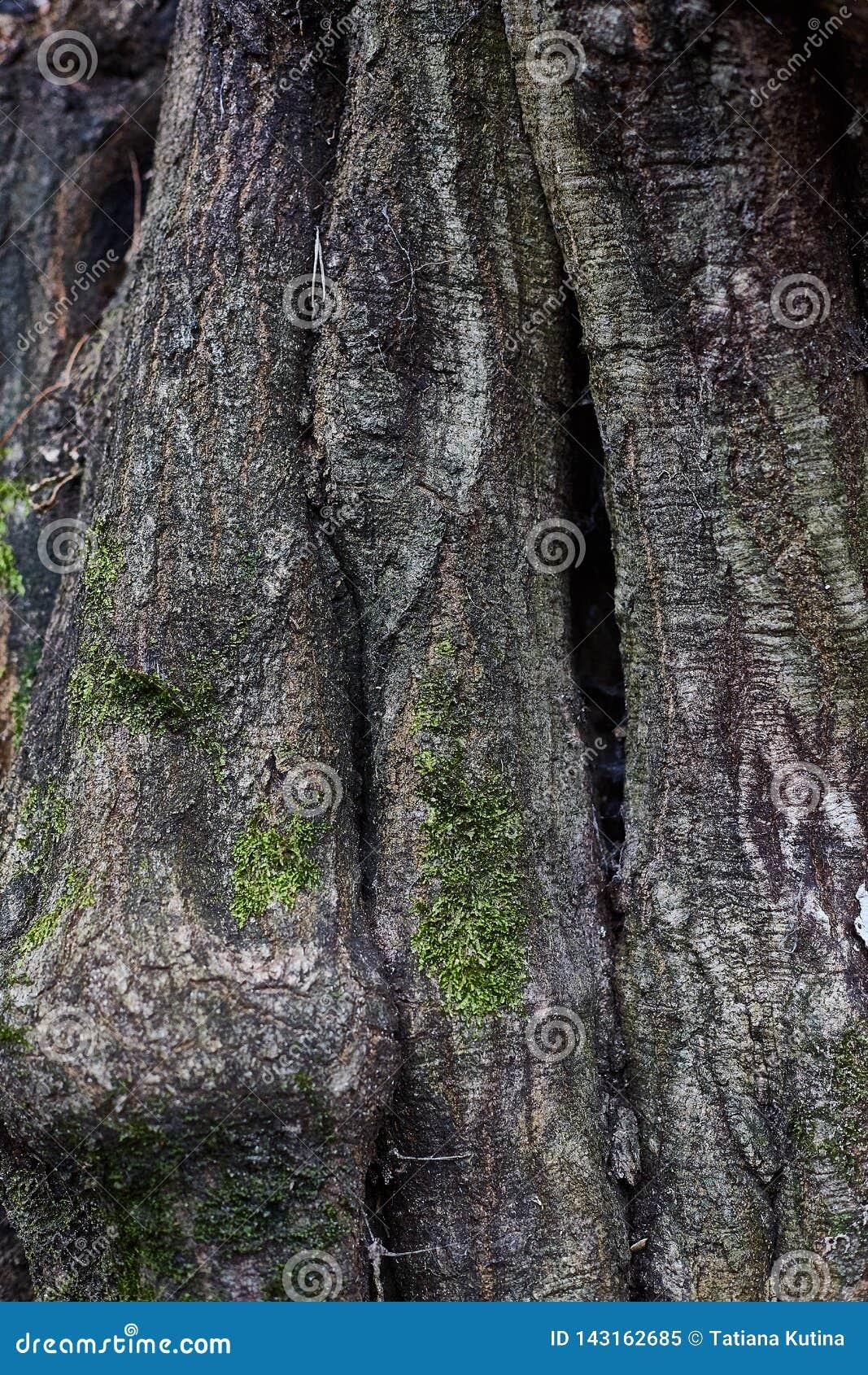 Texture d écorce d arbre vieille, fond vertical avec de la mousse