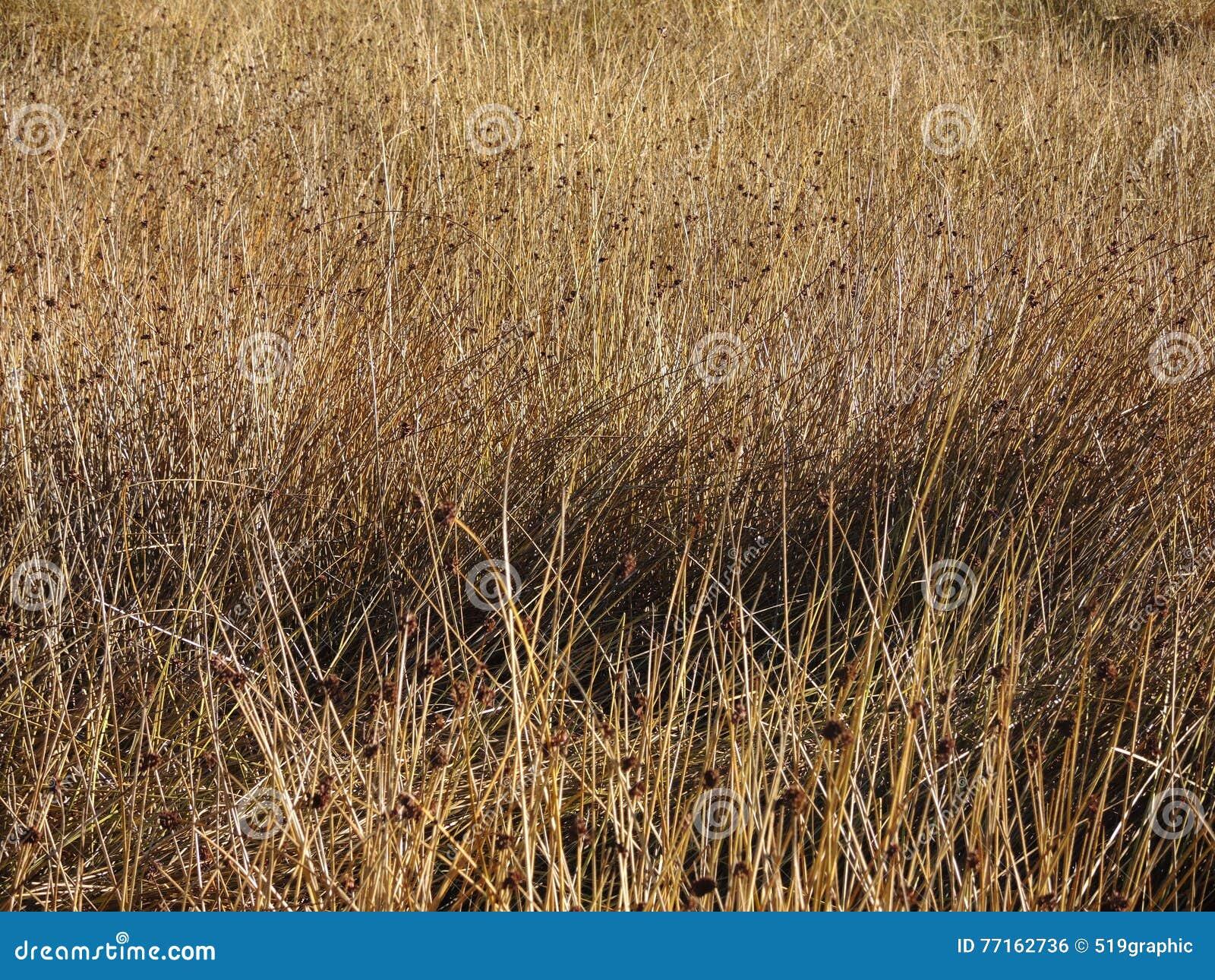 Texture d or de fond de prairie