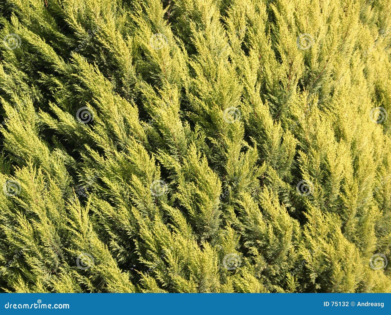 Texture de Cypress
