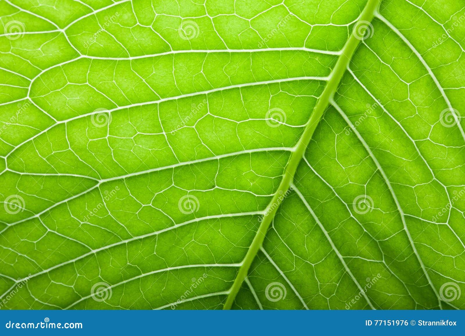 Texture de feuille verte fraîche pour le fond naturel