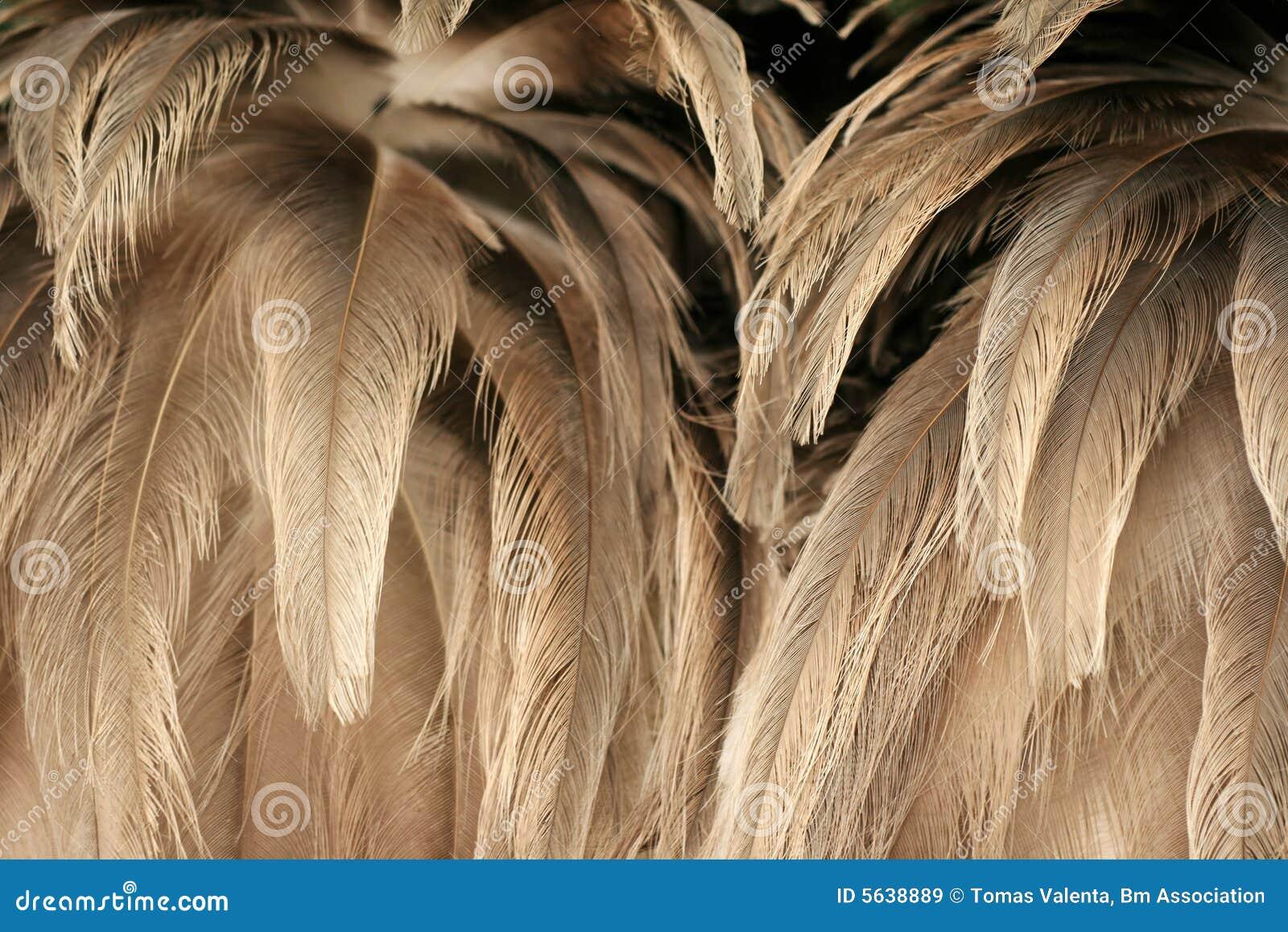 Texture de plumage d autruche