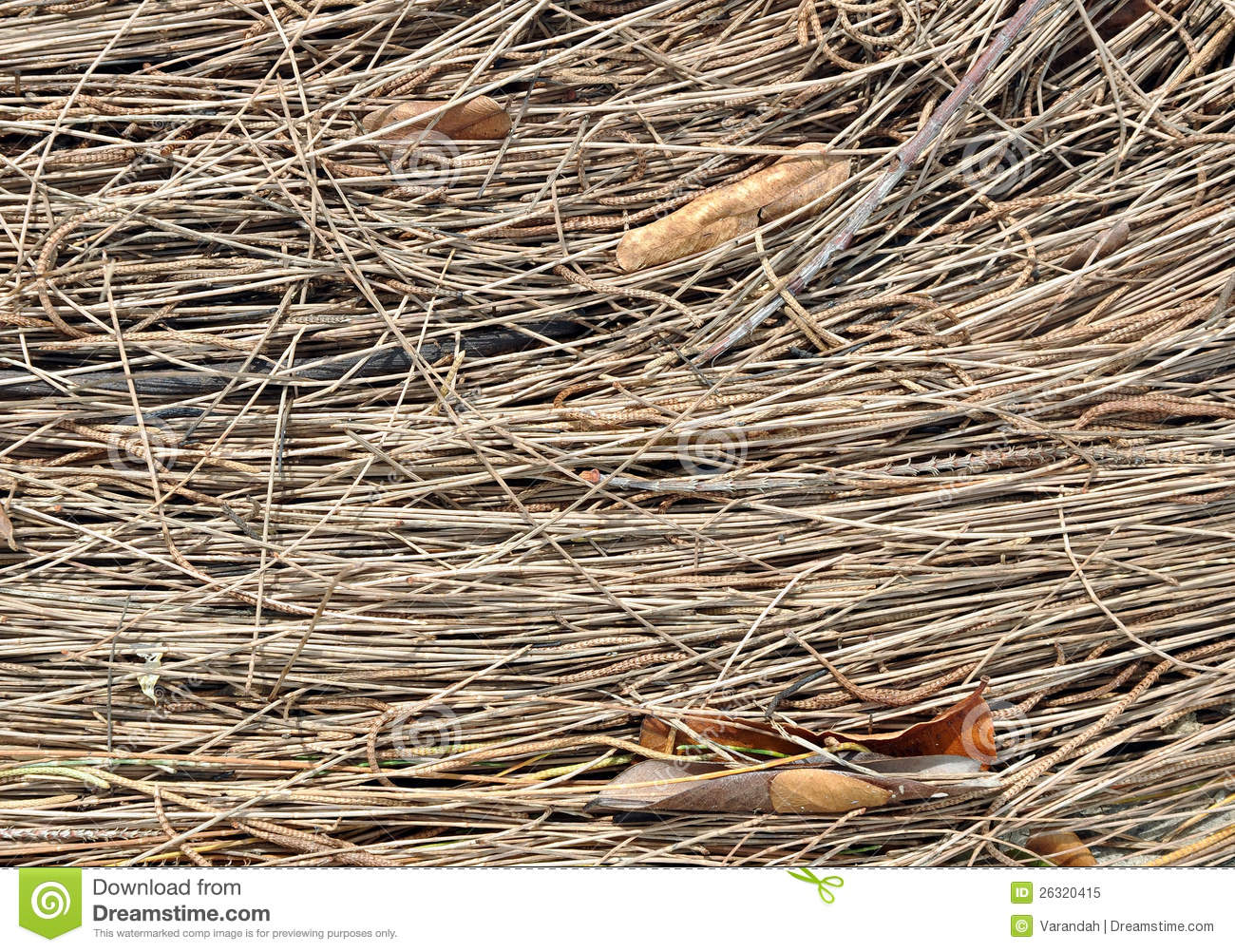 Texture Of Dried Pine Needles And Birch Leaves Royalty