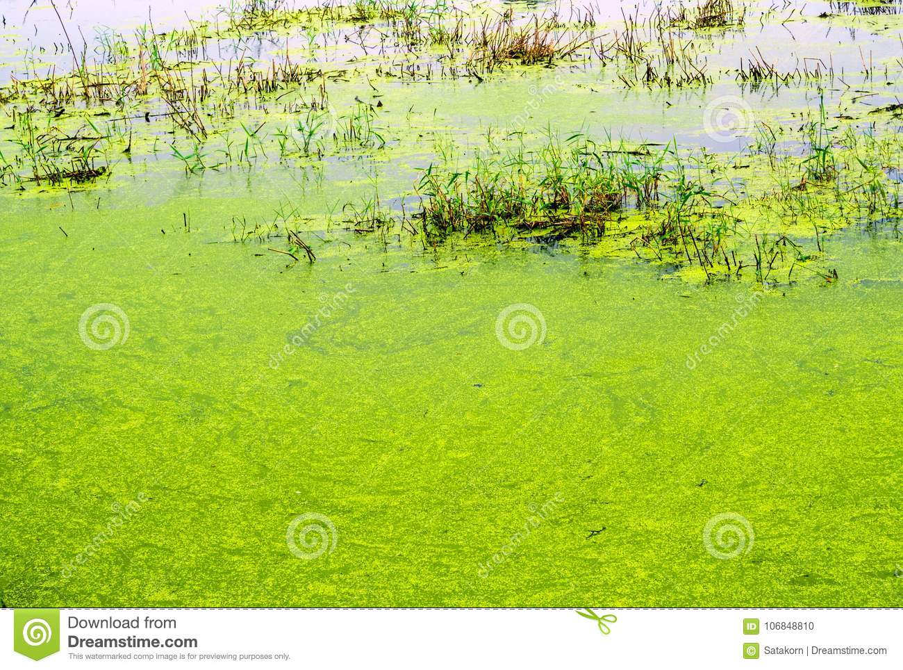 Texture Of Duckweed And Grass In Wetland Stock Photo - Image of