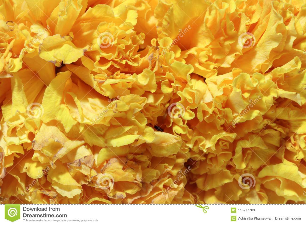Texture of garland marigold petal flower, a plant of the daisy family.
