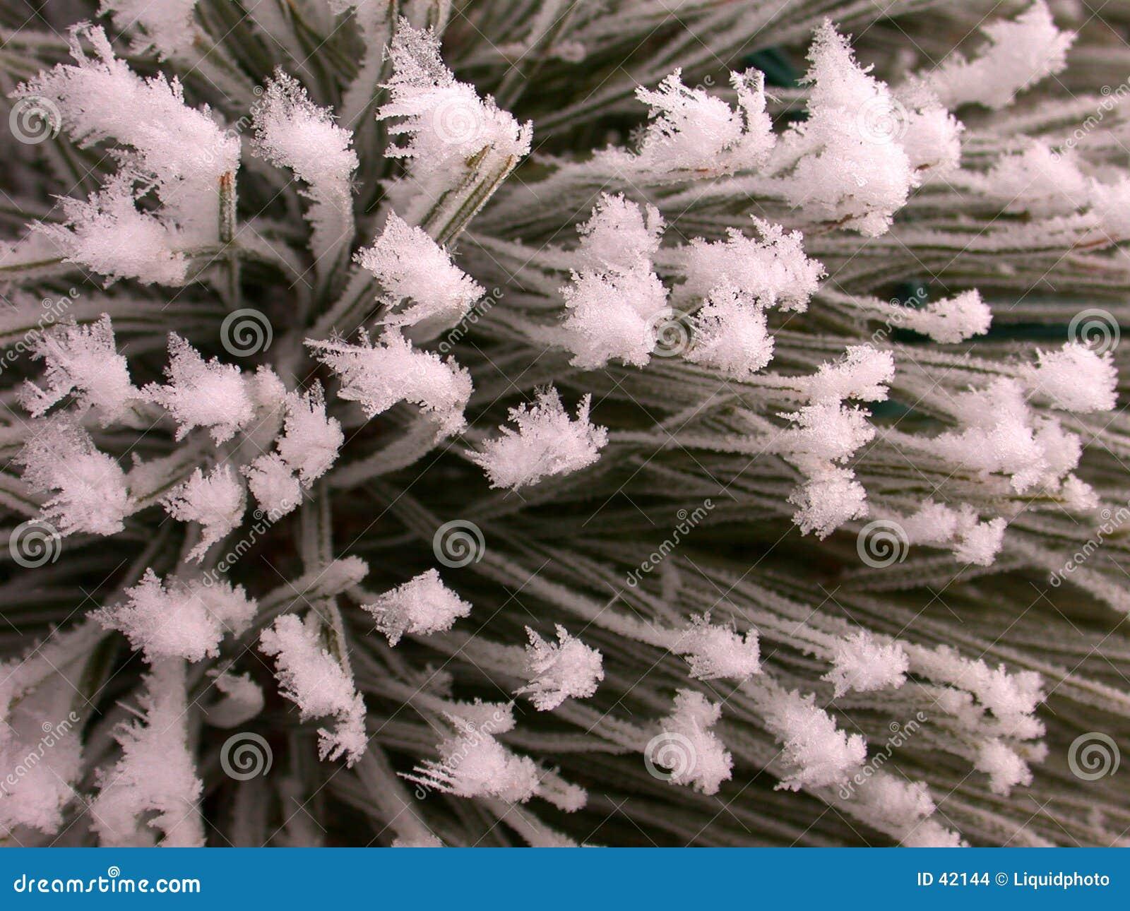 Texture givrée de pin