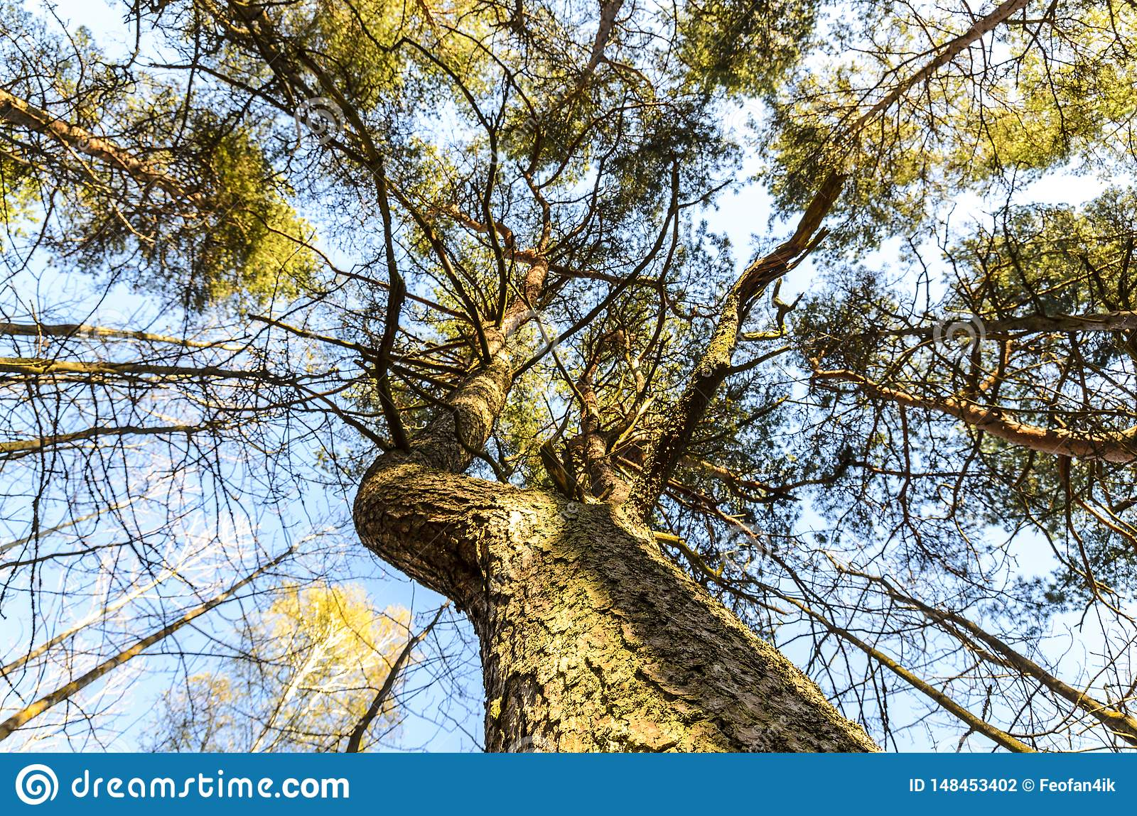 Texture of a perennial tree, majestic pine and its beautiful crown, bottom view