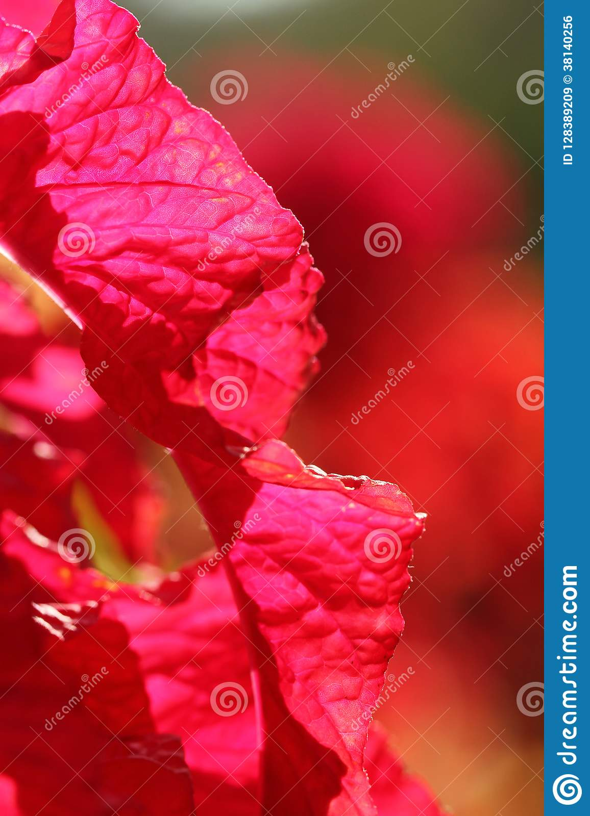 Texture of red leaves in sunlight