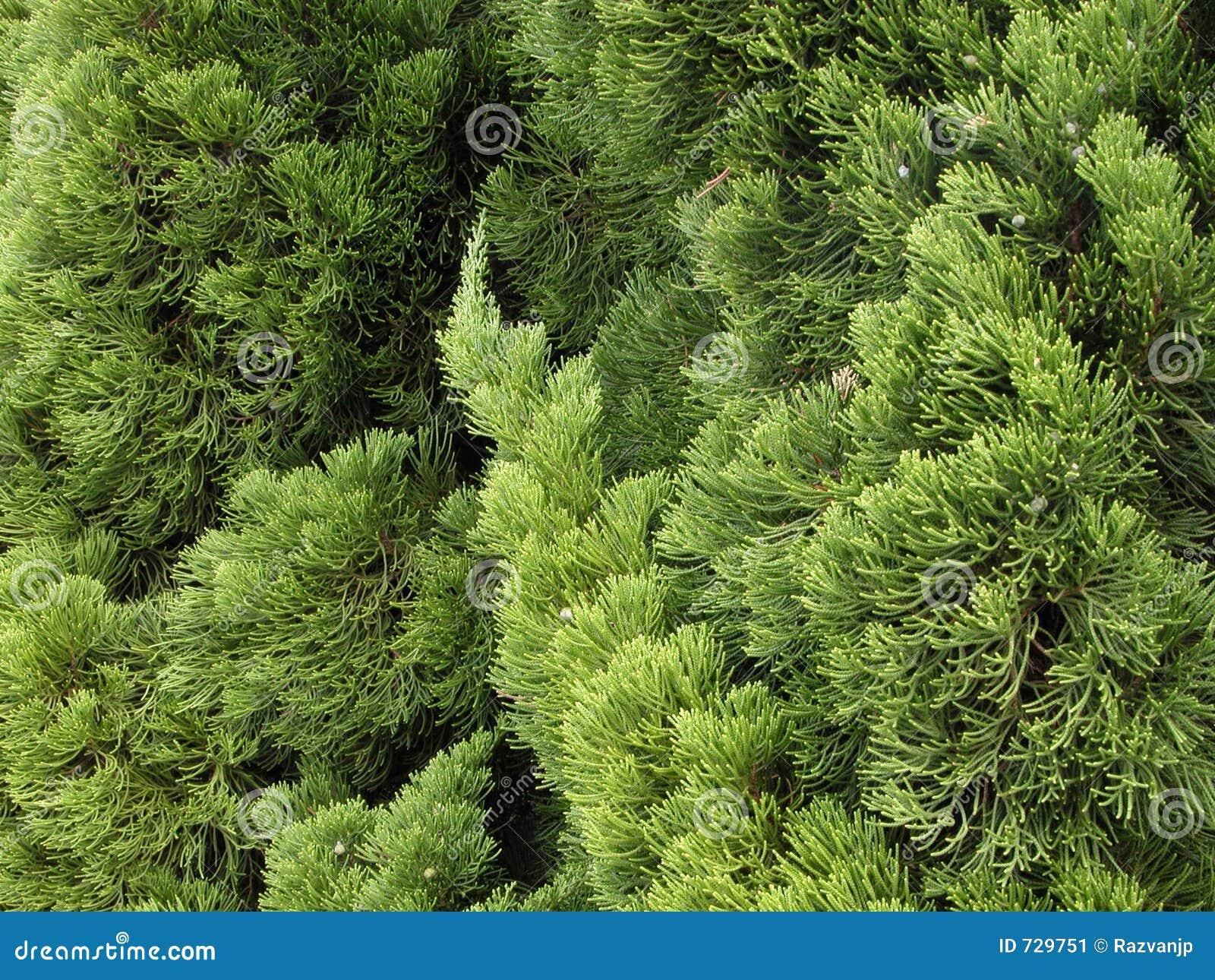 Texture verte de pin