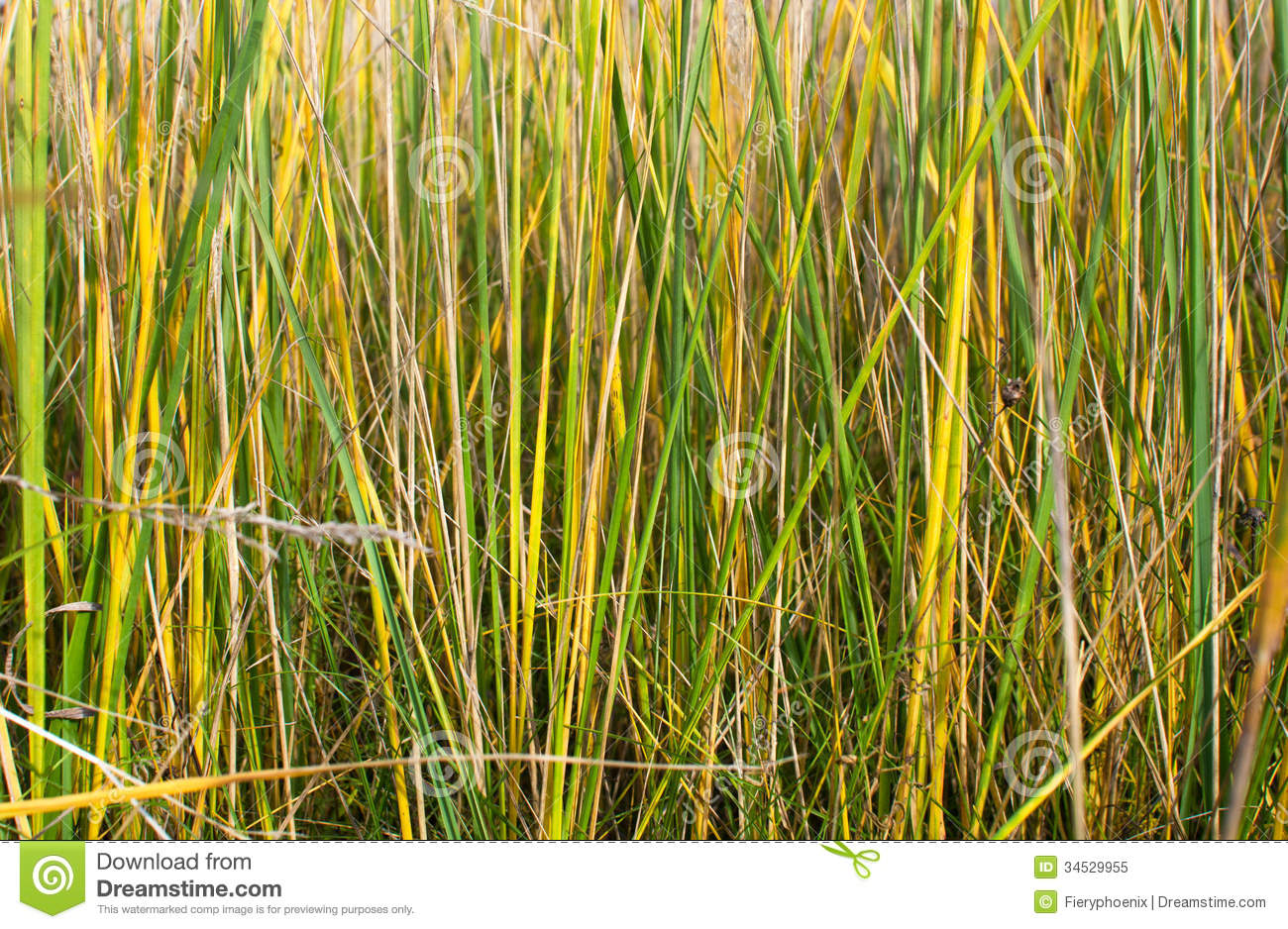 Texture of yellow green grass royalty free stock photo for Yellow green ornamental grasses