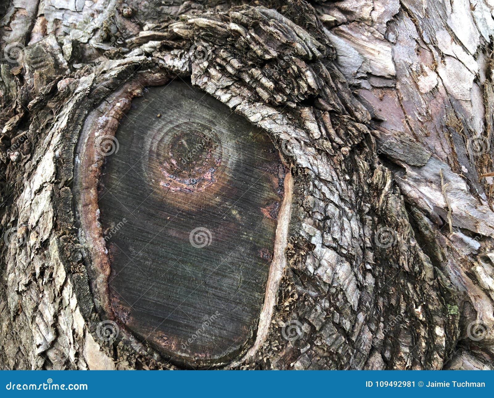 Textured Bark Of A Dawn Redwood Tree Stock Image Image Of Fiber