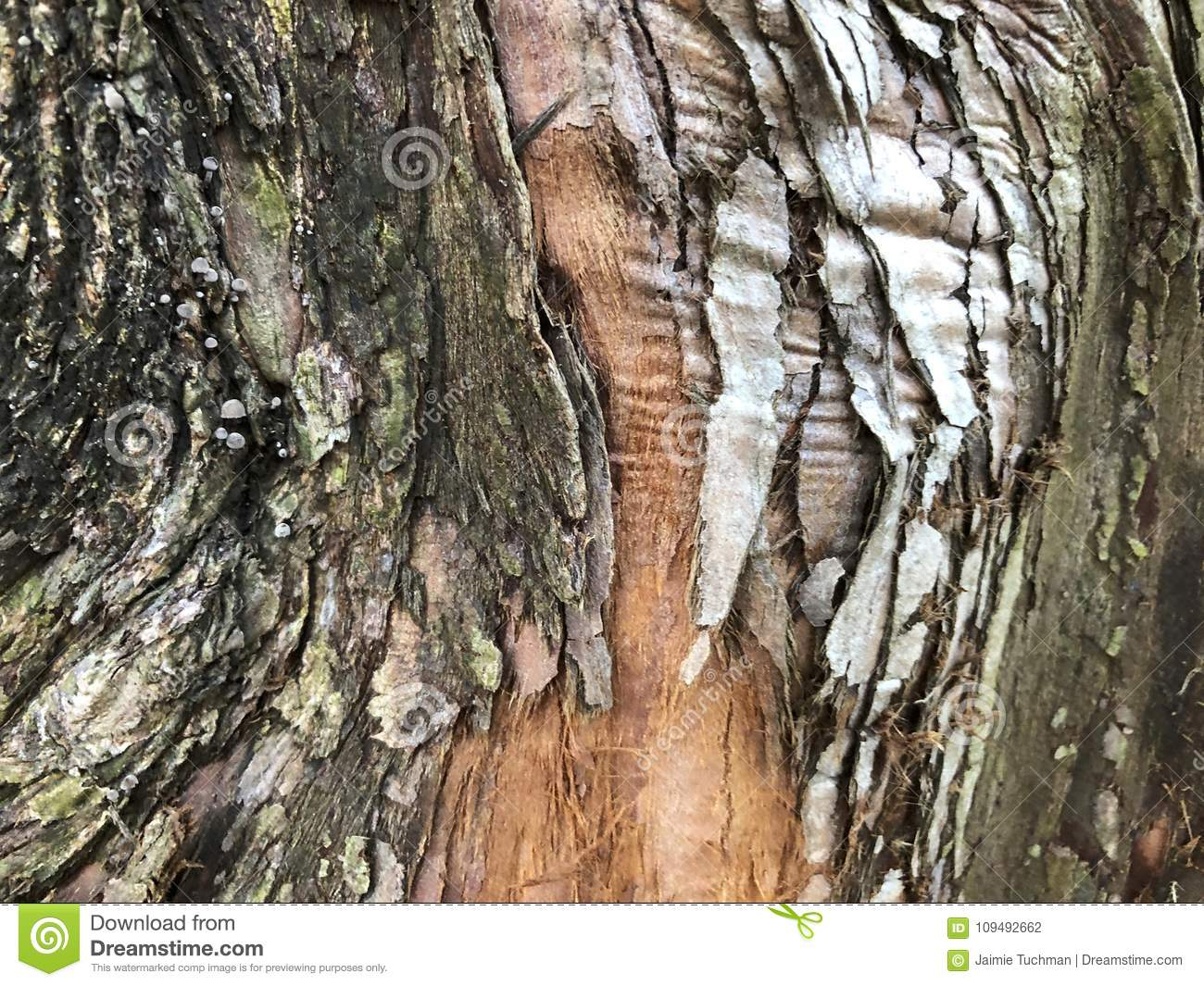 Textured Bark Of A Dawn Redwood Tree Stock Photo Image Of Multi
