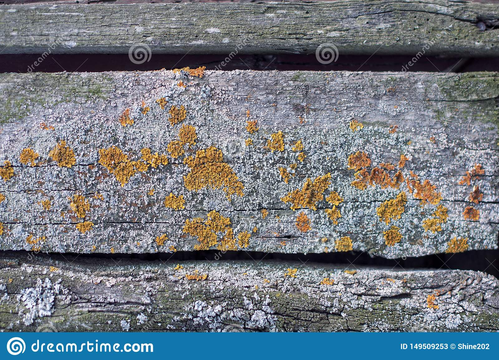 Textured t?o stary siwieje zatarte deski zakrywa? z grzybem i mech