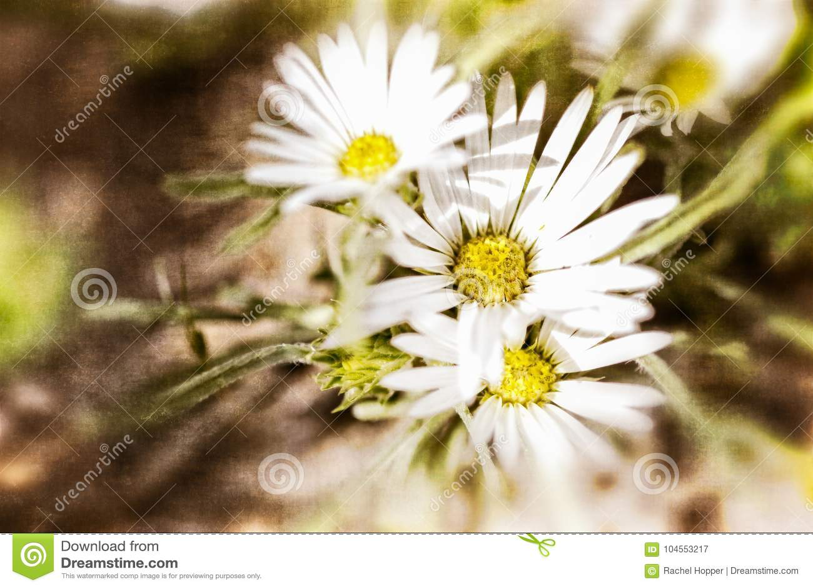 Textured White Daisy Background