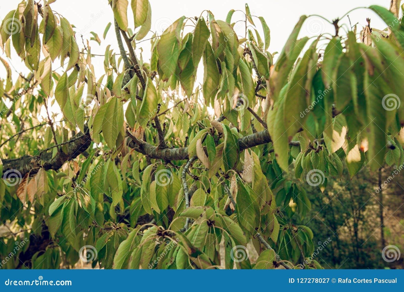 Textuur van bladeren van een kersenboom