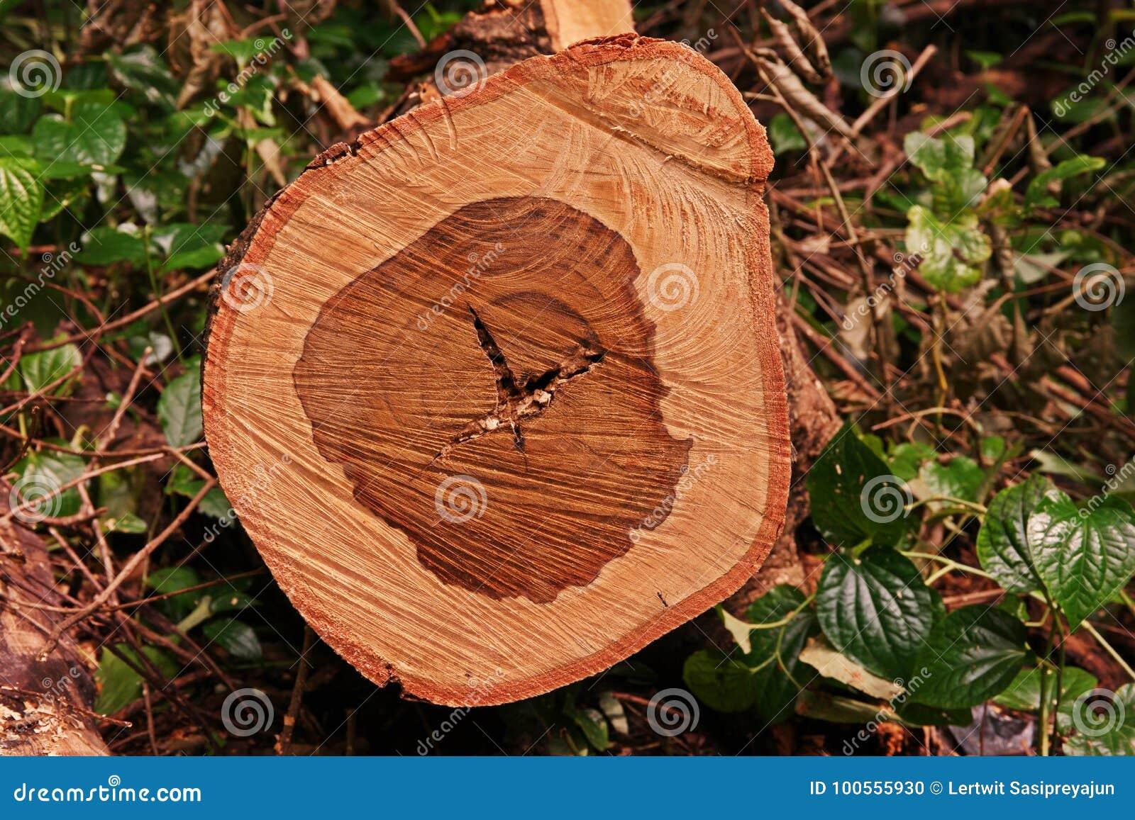 Textuur van eeuwigdurende boom wanneer besnoeiing als dwarsdoorsnede