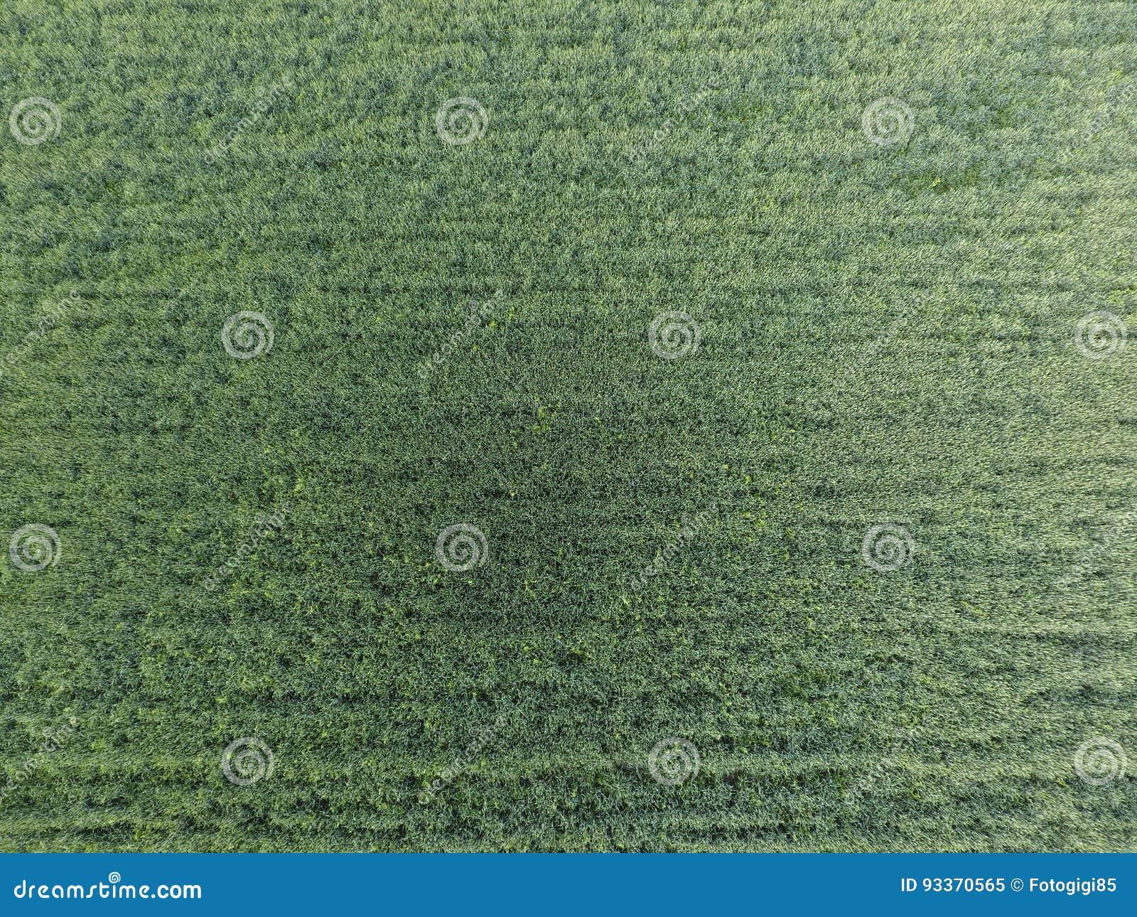 Textuur van tarwegebied Achtergrond van jonge groene tarwe op het gebied Foto van quadrocopter Luchtfoto van het tarwegebied
