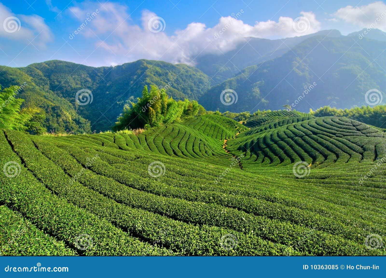 Thé de plantation