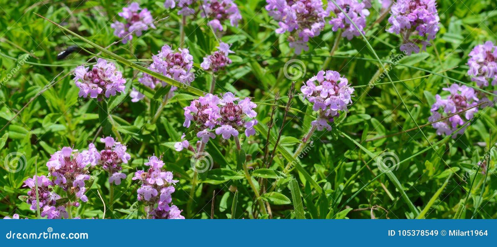 Thé de thym sur une table en bois Fleurs de thym en nature Le thym est utilisé généralement dans la cuisine et en phytothérapie