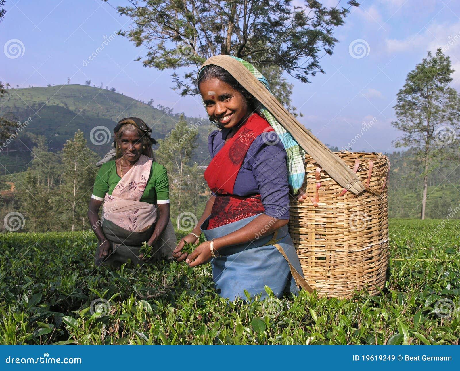 Thé plumant en Inde du sud