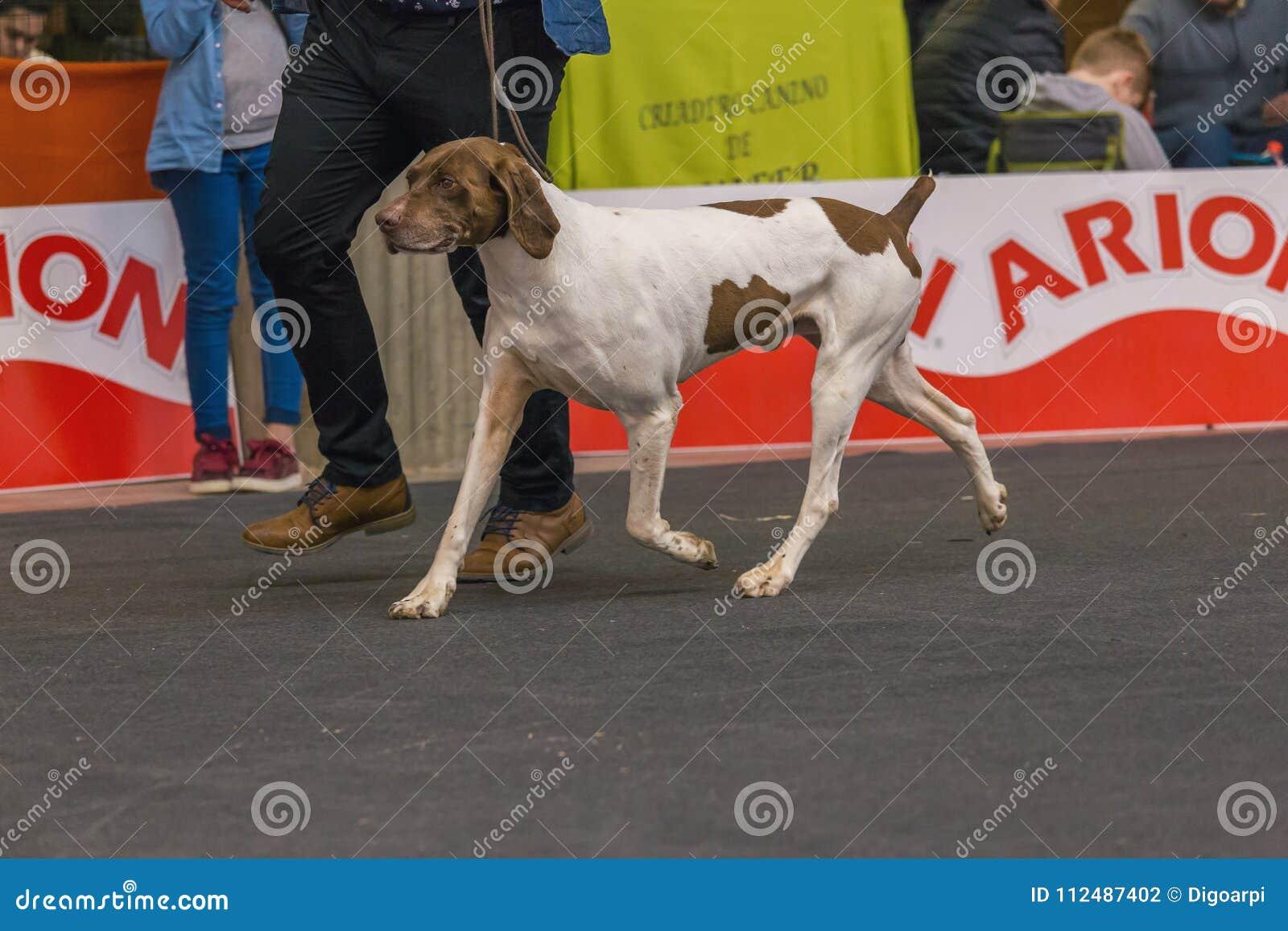 22th国际狗展示希罗纳2018年,西班牙