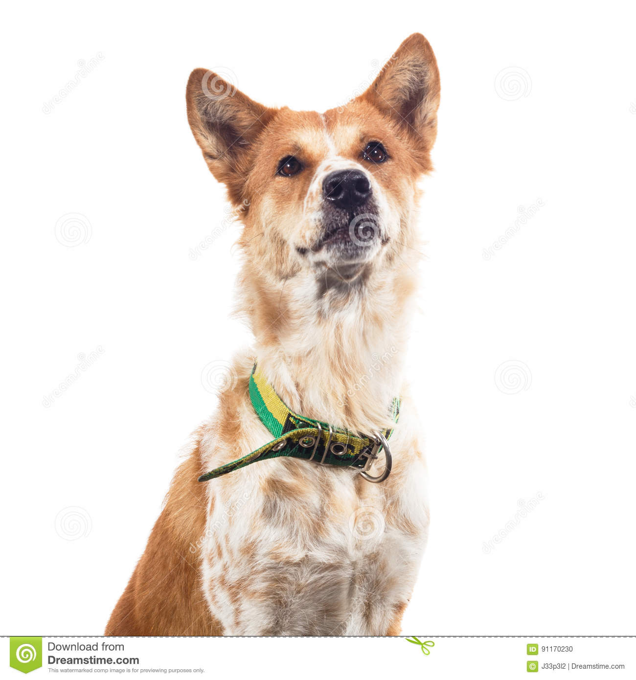 Thai Bangkaew Dog Isolated On White Background Stock Photo