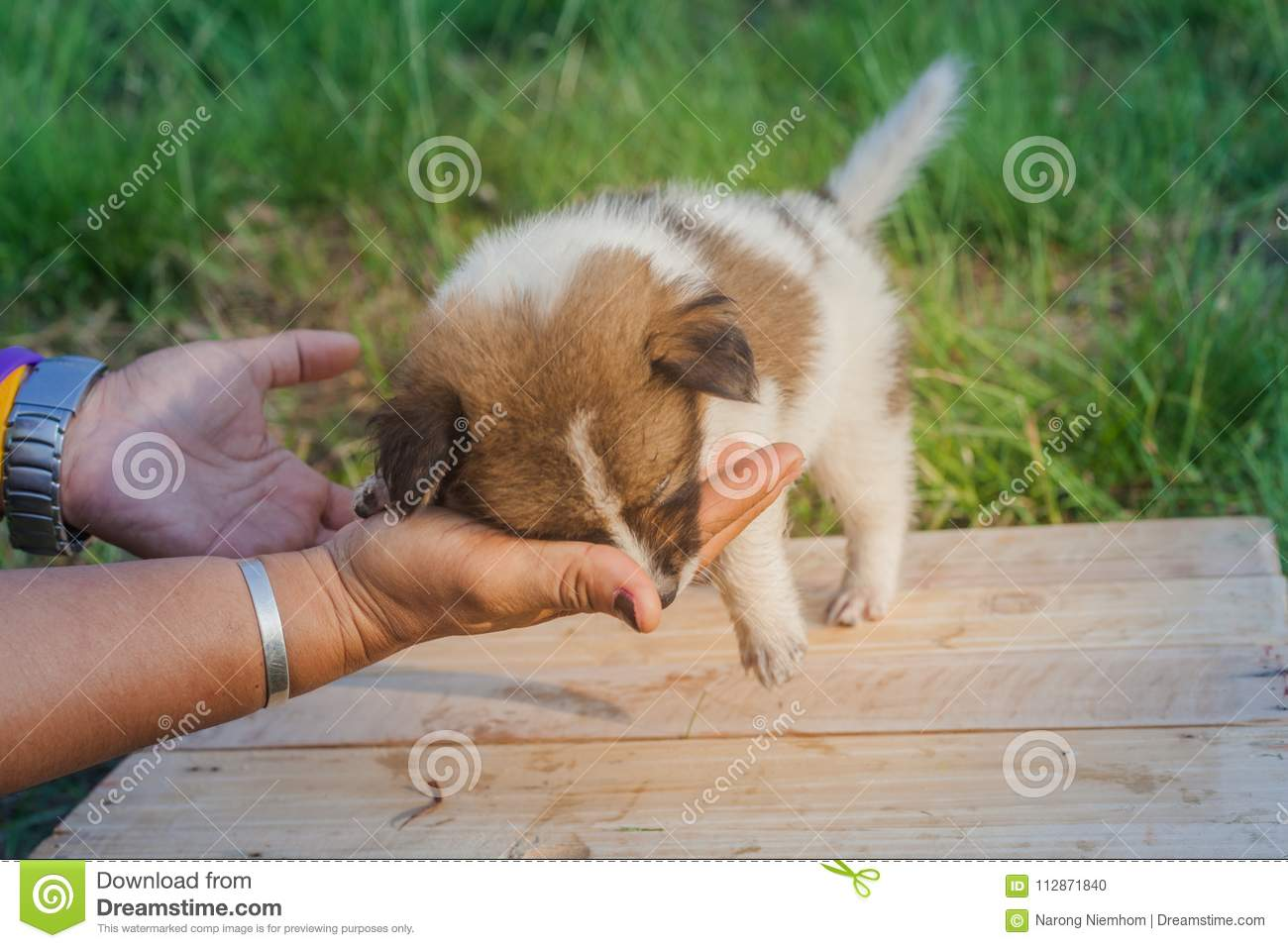 Thai Bangkaew Dog Puppies Stock Photo Image Of Whining 112871840
