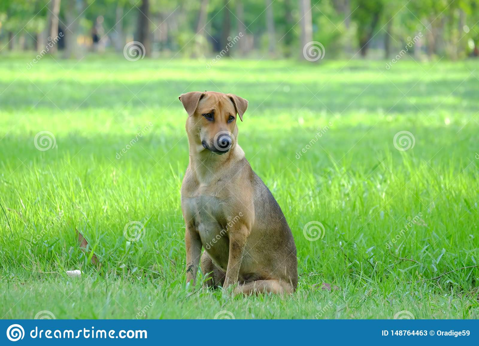 Thai brown dog sitting on a grass field at the park with green nature background and warm light