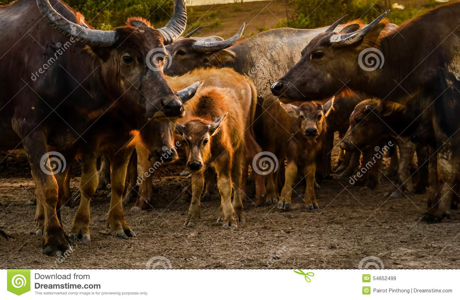 Nakhon Thai Thailand  City pictures : Thai buffalo masses at Nakhon Si Thammarat in Thailand.