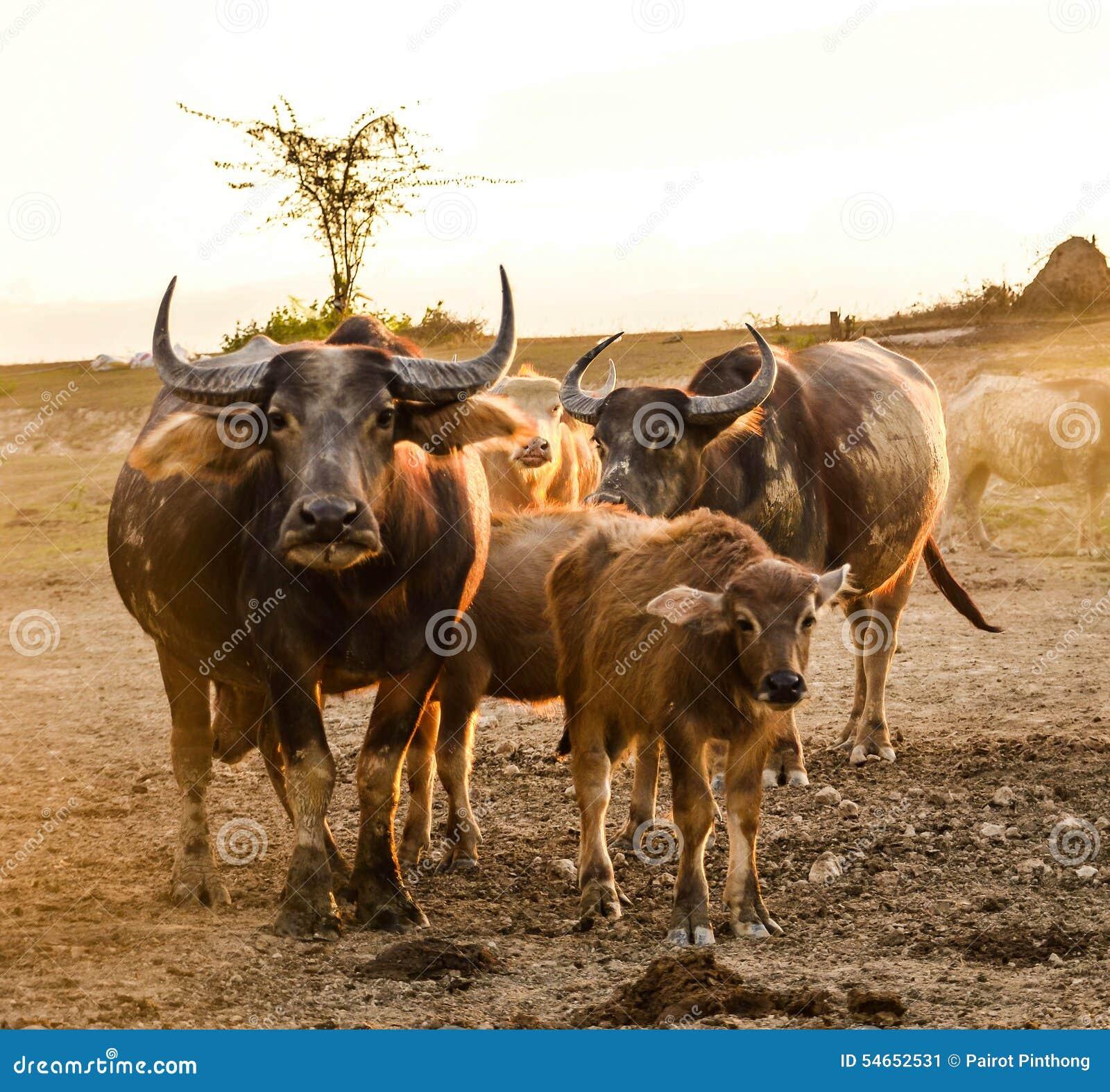 Nakhon Thai Thailand  city photos : Thai buffalo masses at Nakhon Si Thammarat in Thailand.