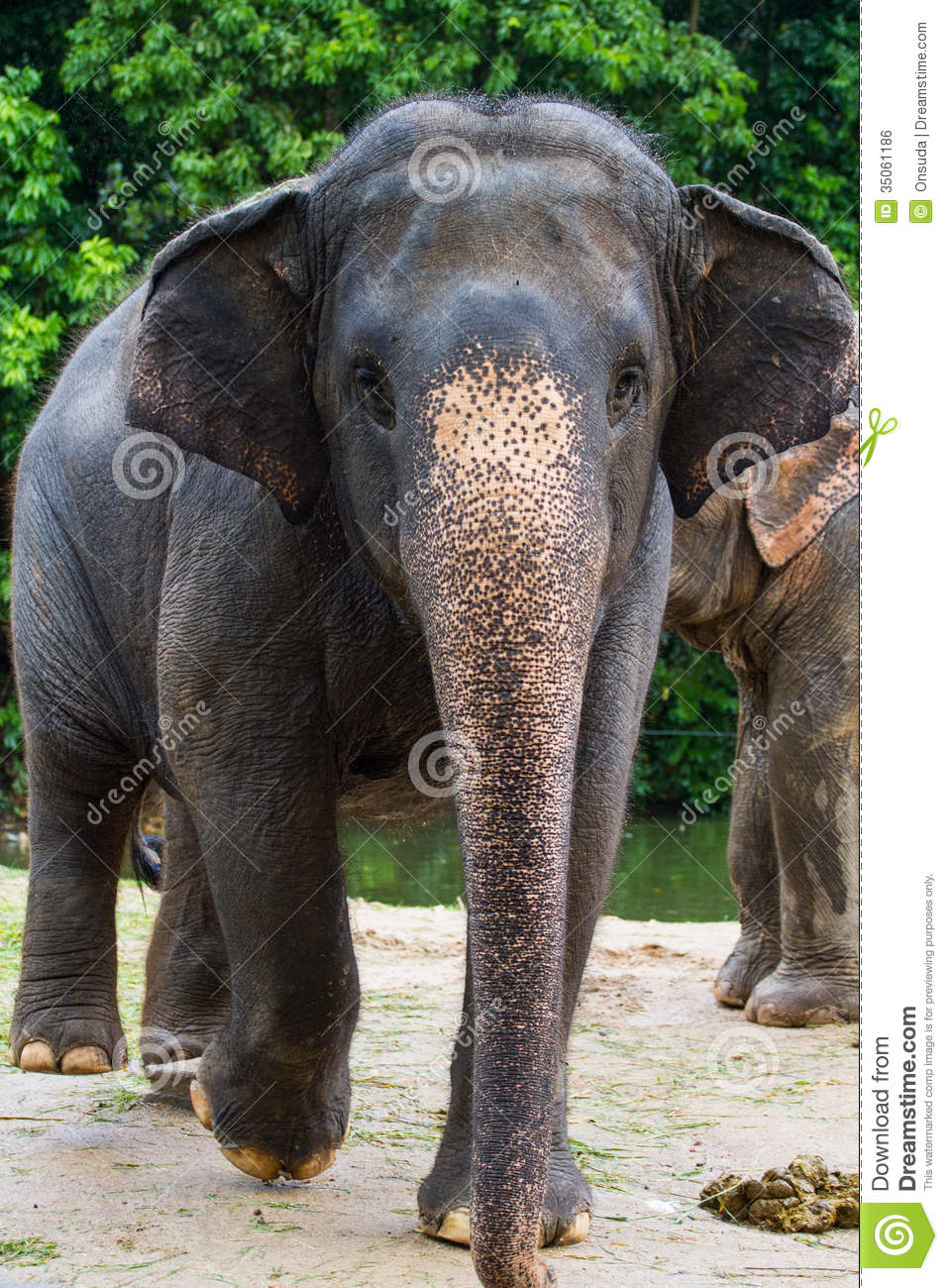 Thai Elephant Stock Photo Image Of Wildlife Animal