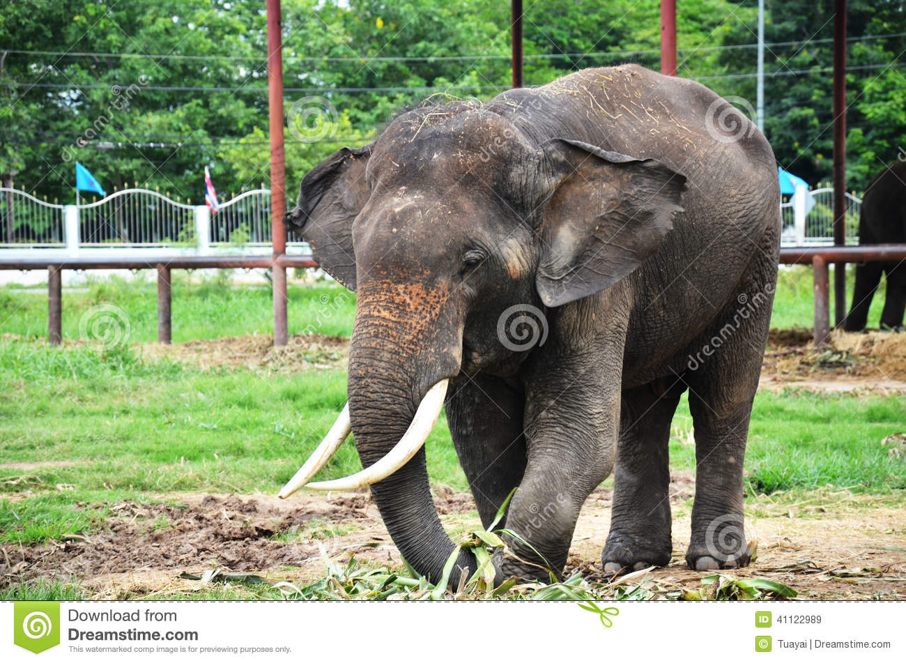 Thai Elephants At Ayutthaya Elephant Camp Thailand Stock Image