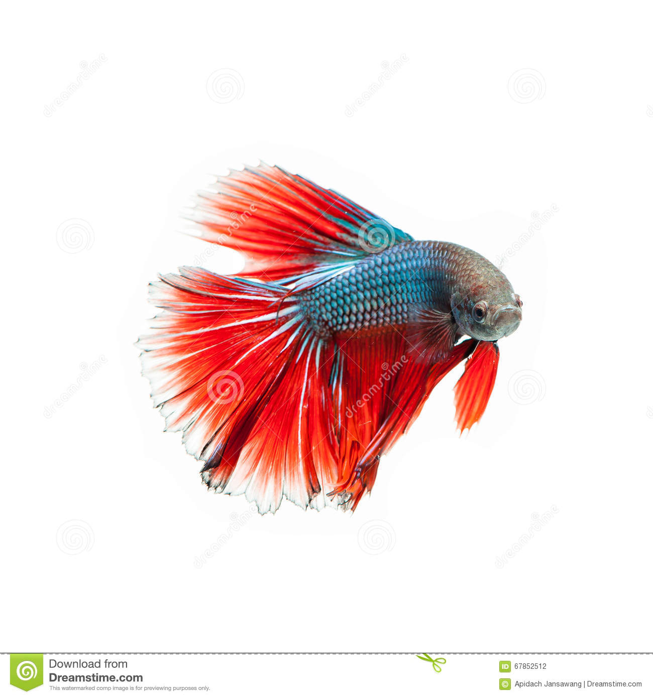 Thai Fighting Fish . Beautiful Color Stock Photo - Image of isolated ...