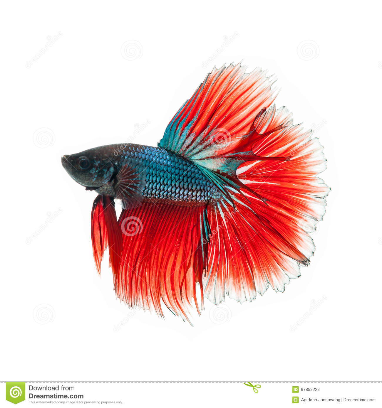 Thai Fighting Fish . Beautiful Color Stock Image - Image of nature ...