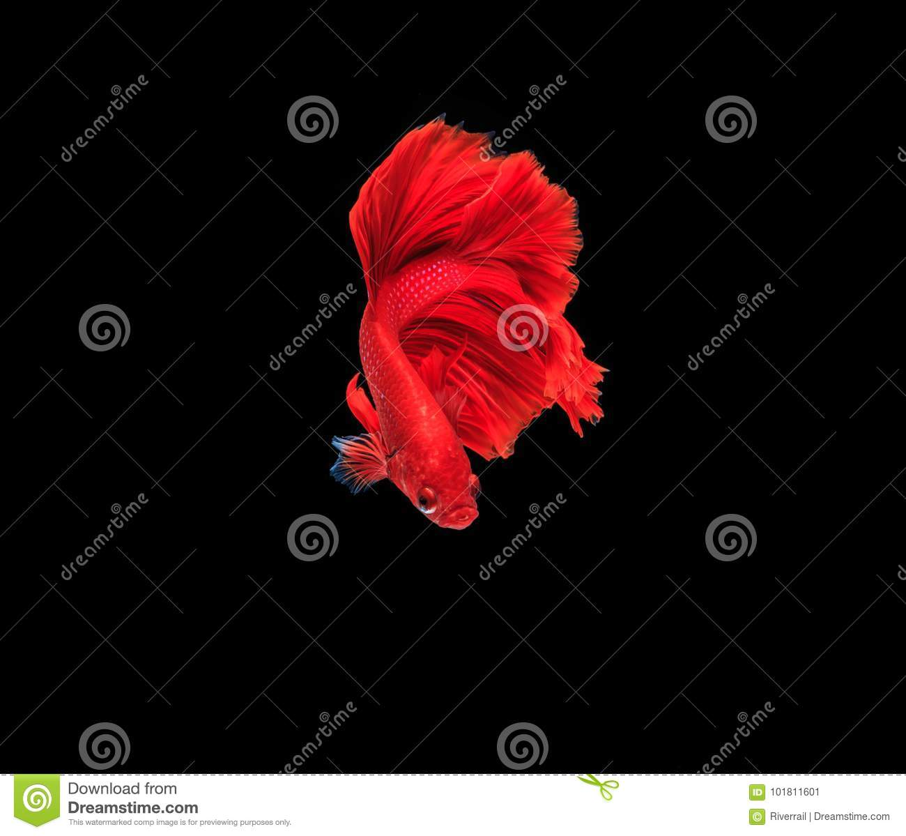Red Fighting Fish In The Water Stock Image - Image of fighting ...