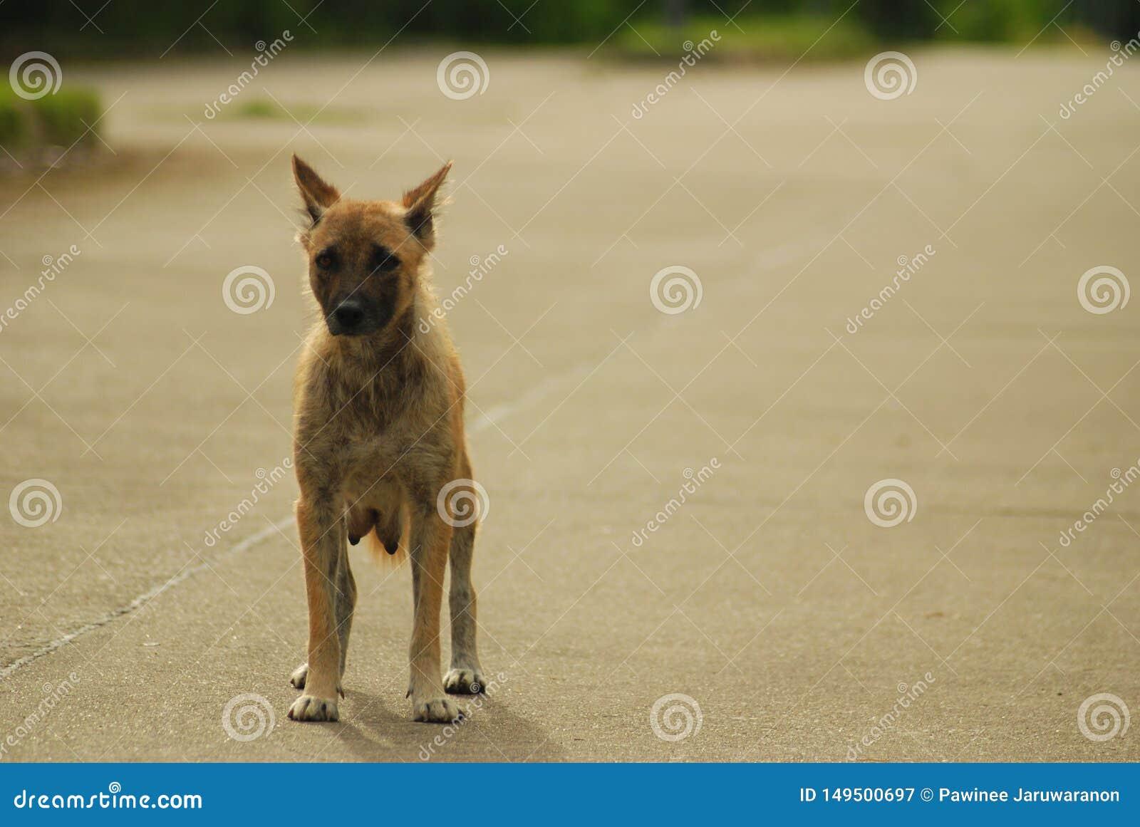 Thai hansen de tribune van de ziektehond alleen op de weg