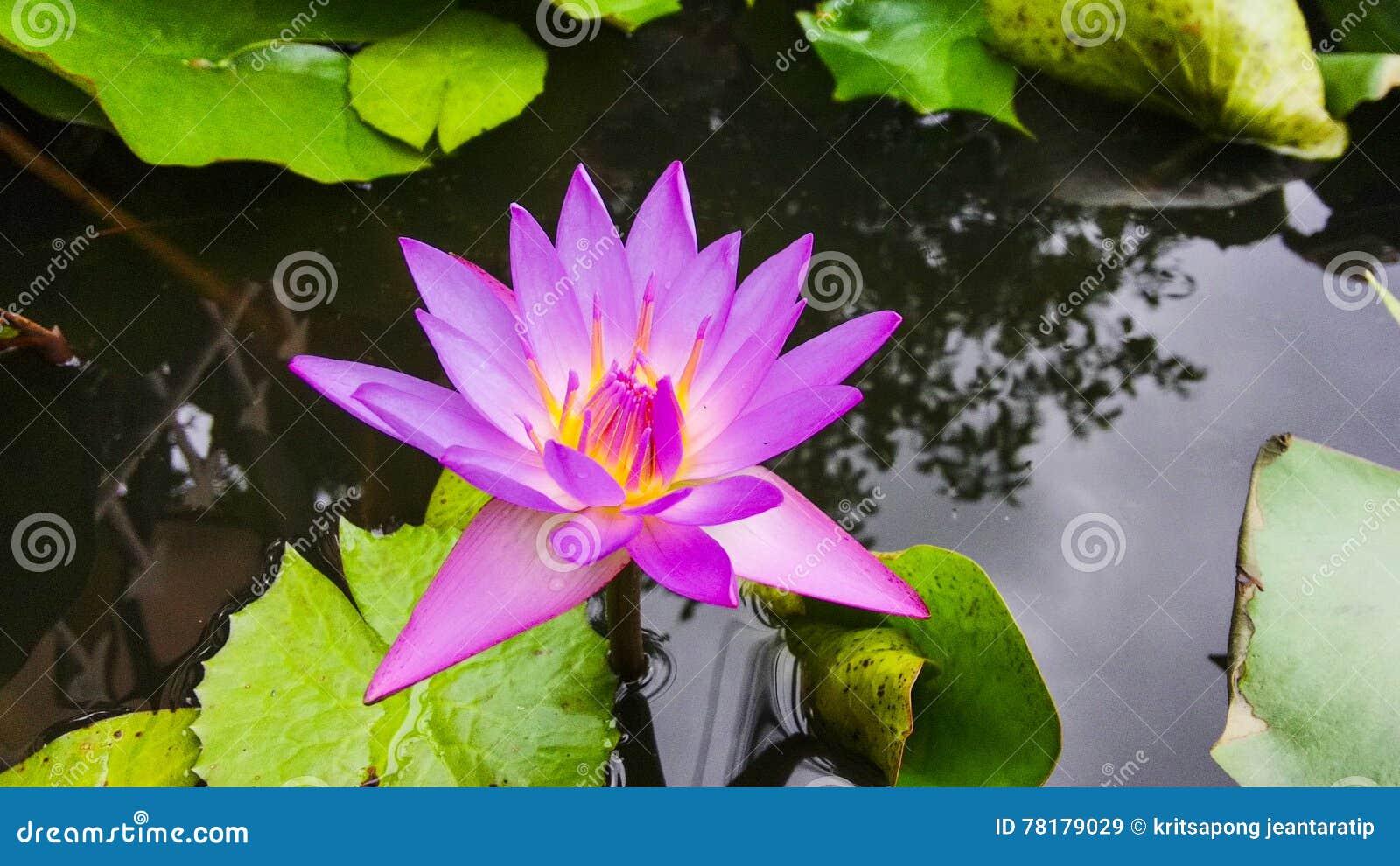 Thai lotus stock image image of flowers thai garden 78179029 download thai lotus stock image image of flowers thai garden 78179029 izmirmasajfo