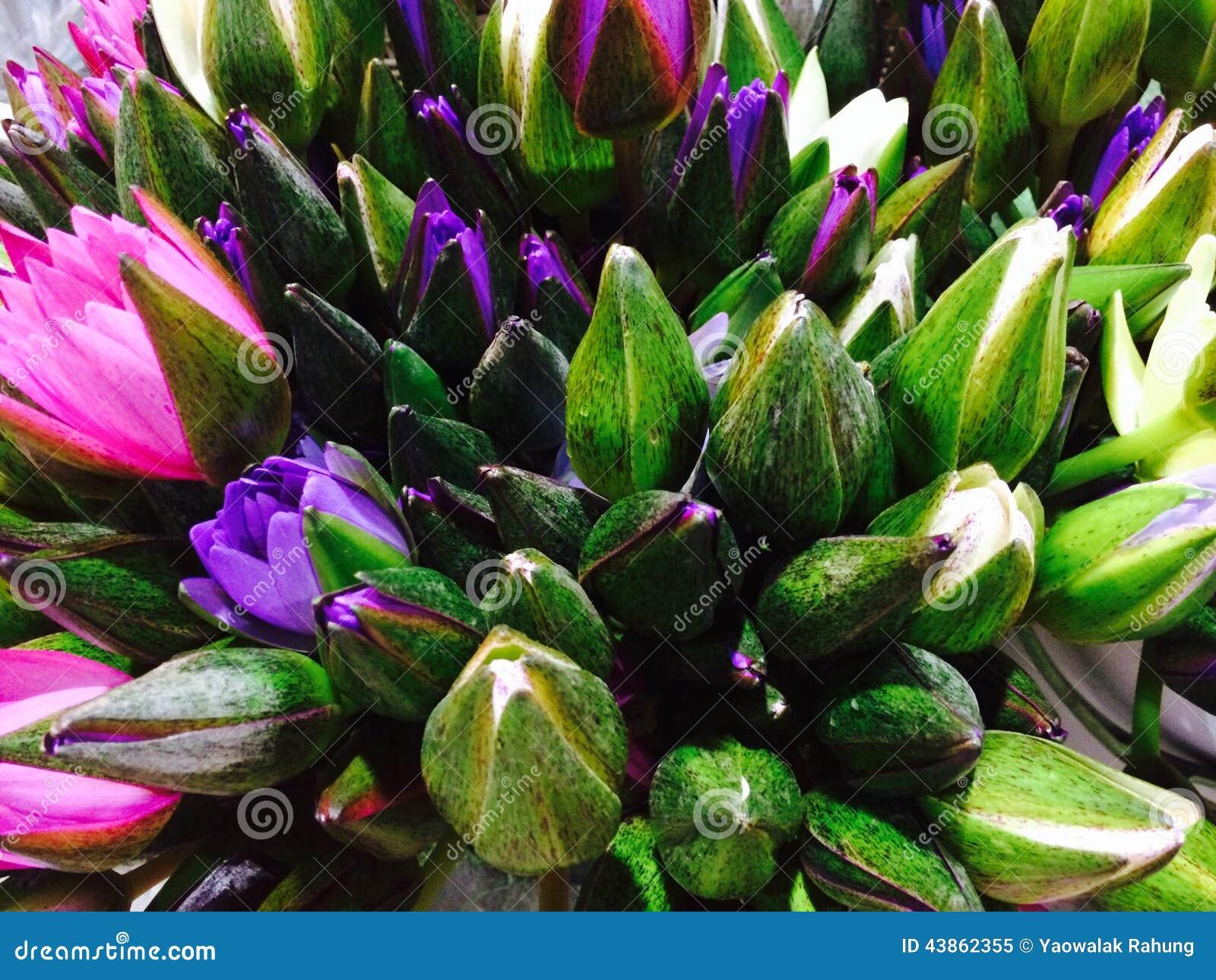 Thai Lotus Flower Stock Image Image Of Tree Garden 43862355