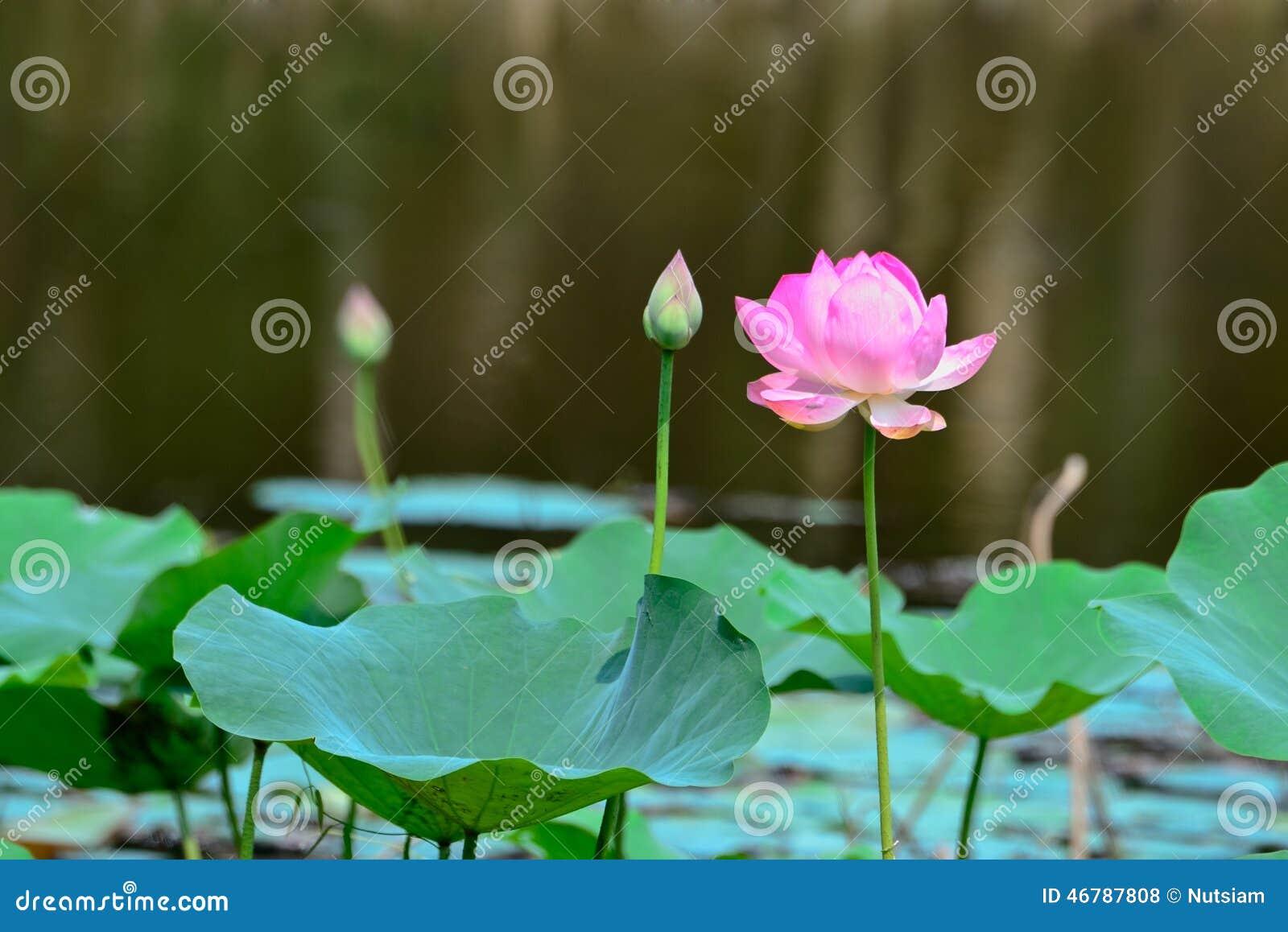 Thai lotus stock photo image of innocence profile exoticism download thai lotus stock photo image of innocence profile exoticism 46787808 izmirmasajfo