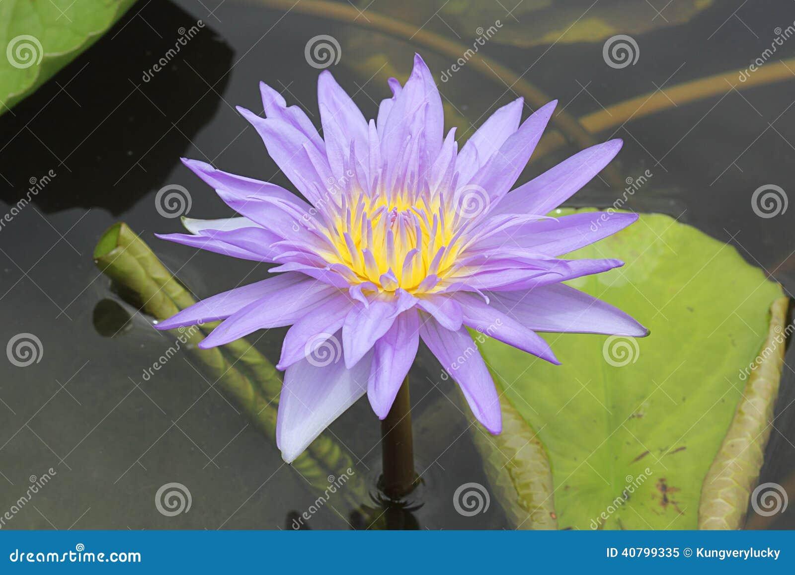 Thai lotus stock image image of outdoors blue nobody 40799335 thai lotus at lotus museum bangkok thailand izmirmasajfo